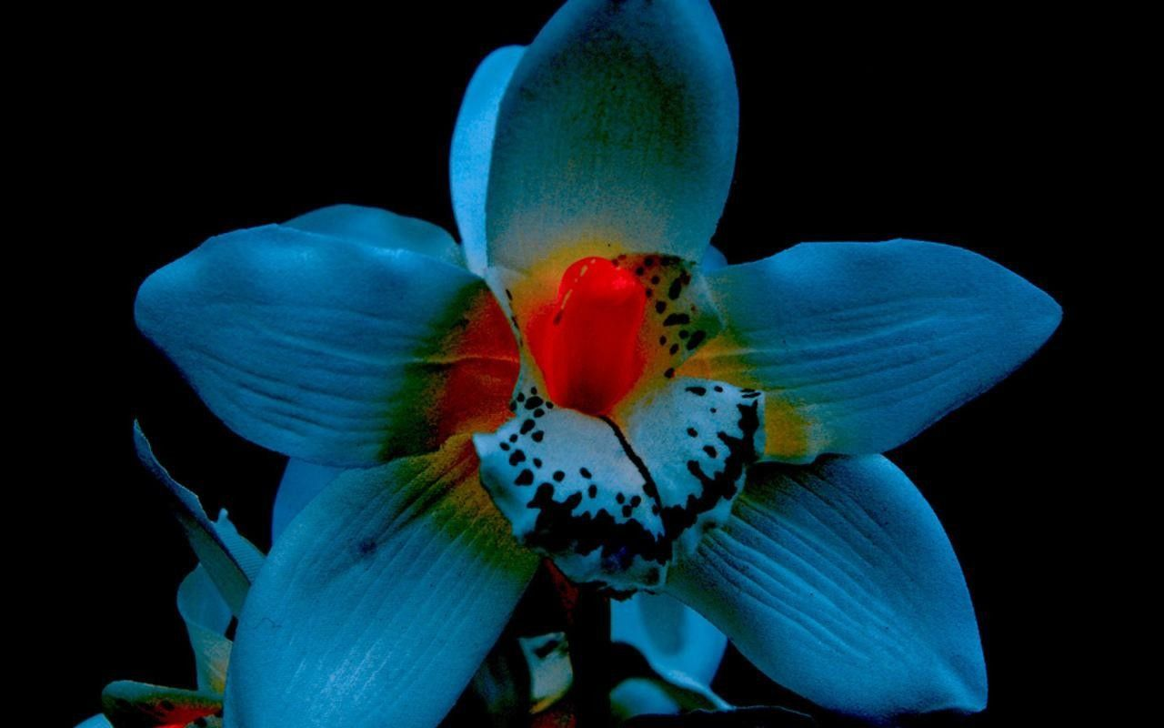 1280x800 Images For > Black Orchids Flowers   Tattoos that I love   Pinterest ...