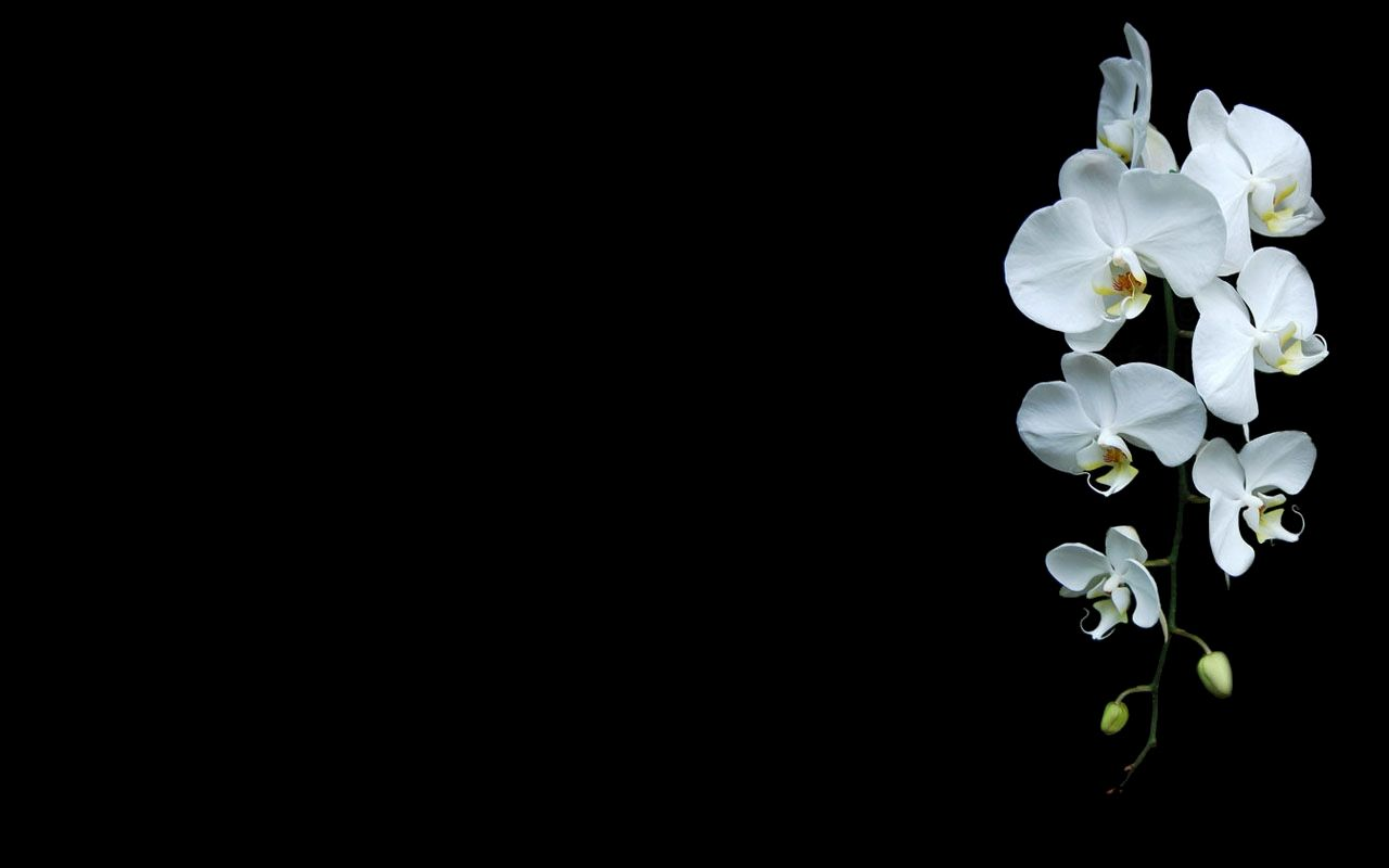 1280x800 black background flowers nature orchids white flowers wallpaper ...