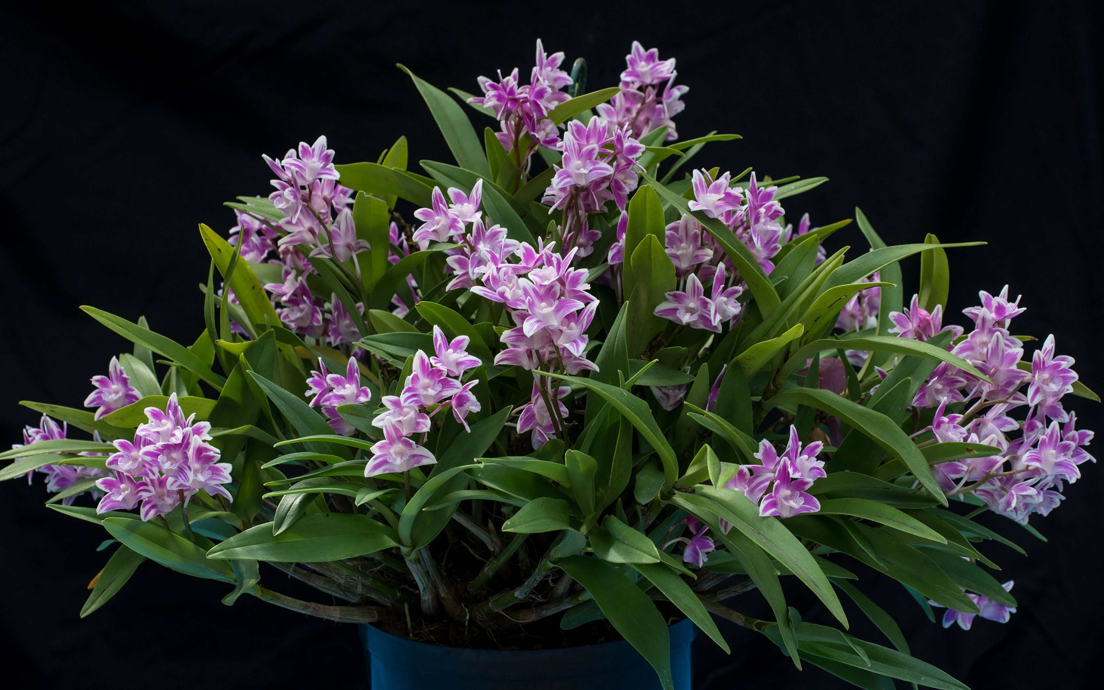 3840x2400 Wallpaper Orchid Flowers Black background 3840x2400