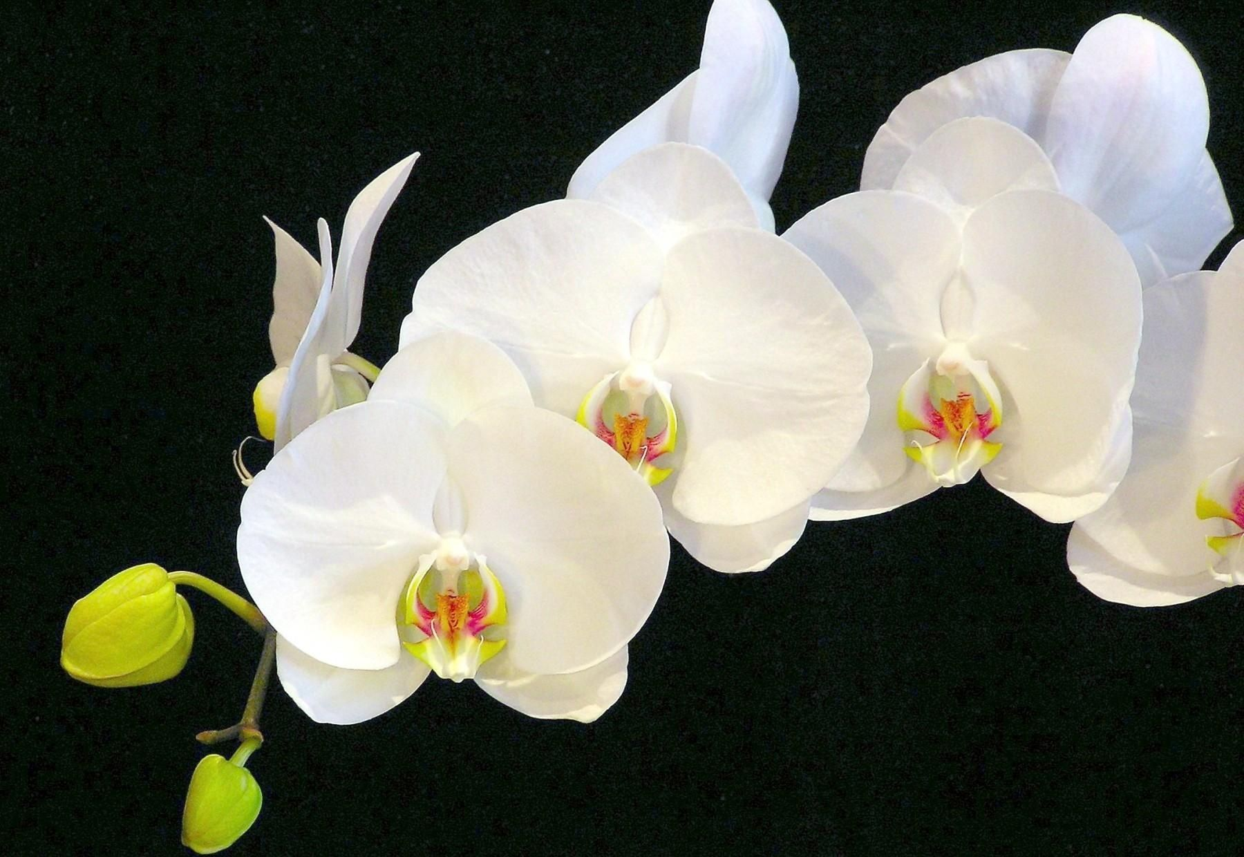 1800x1240 dongetrabi: Black Orchid Flower Images