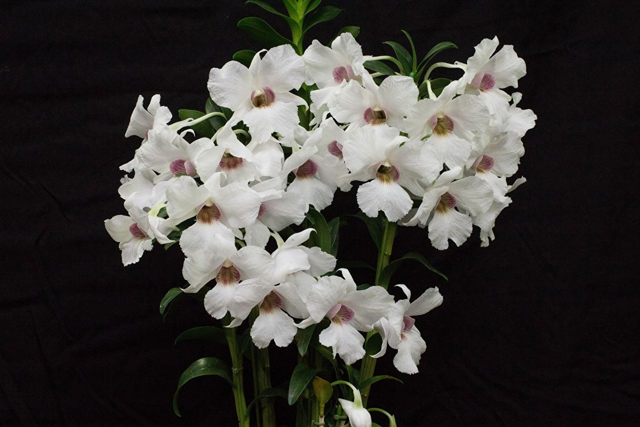 1280x853 Wallpaper White Orchid Flowers Black background