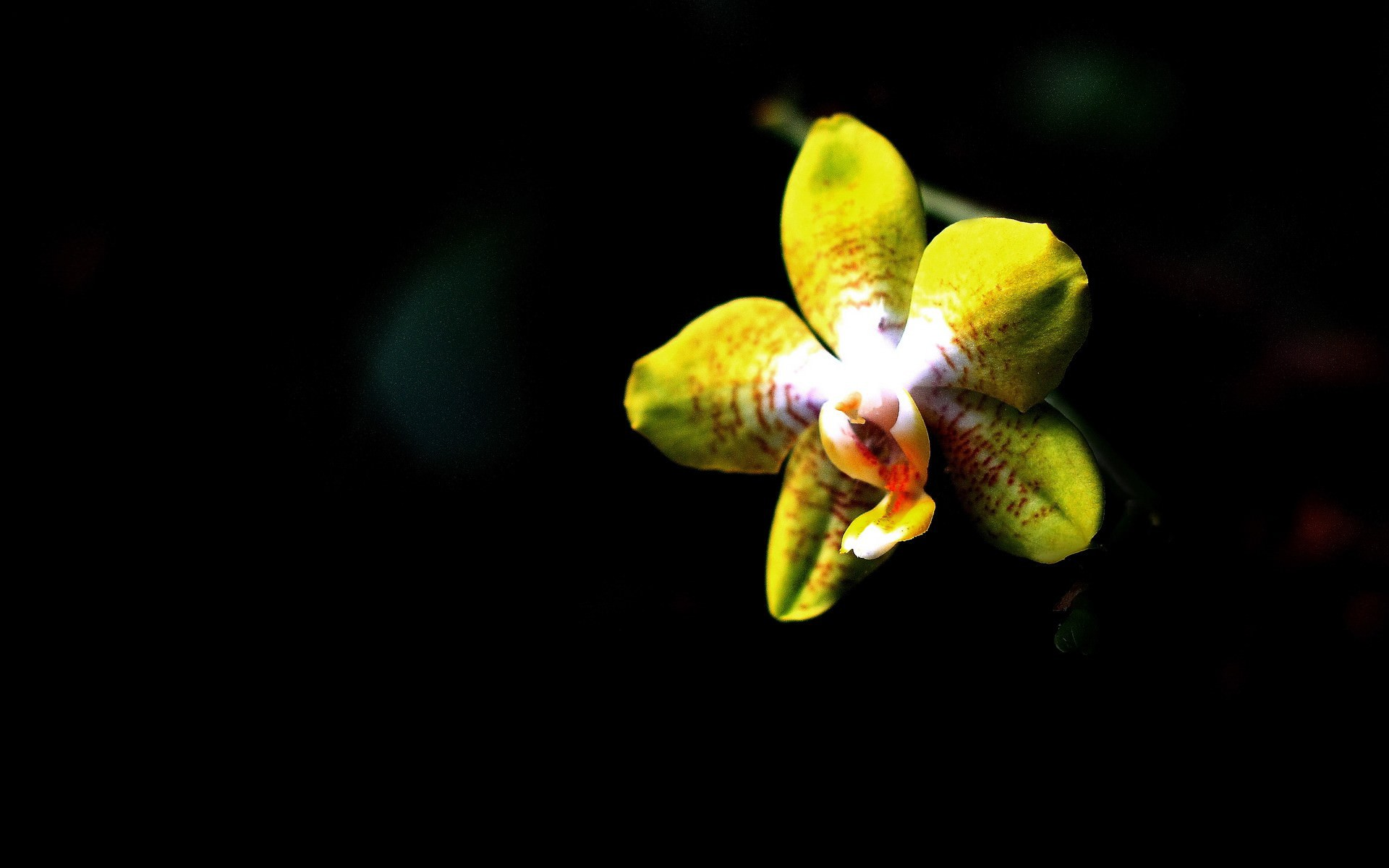 1920x1200 Yellow Orchid on a black background wallpapers and images ...