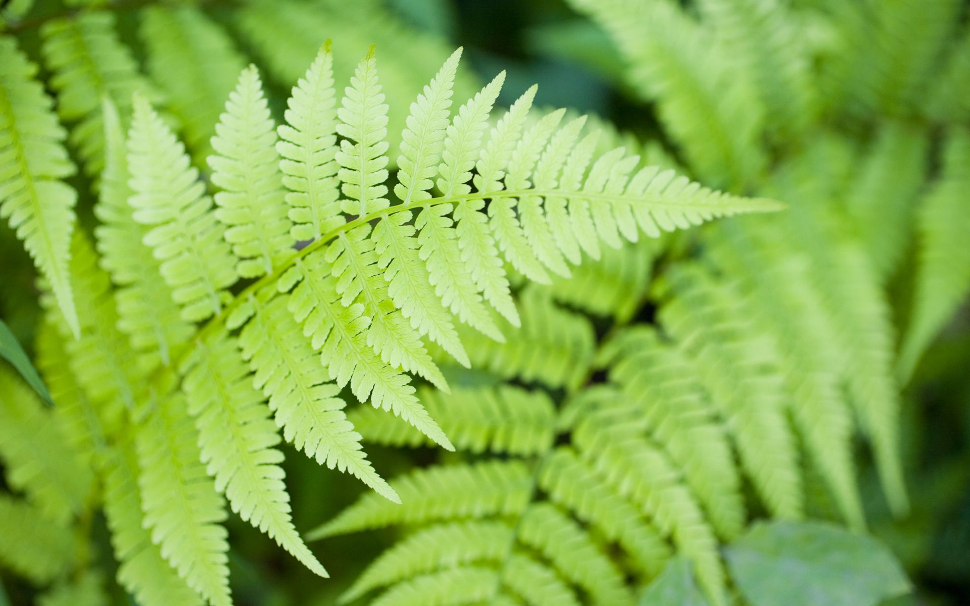 1920x1200 Fern leaf desktop wallpaper - HD Wallpapers | Epic Car Wallpapers ...