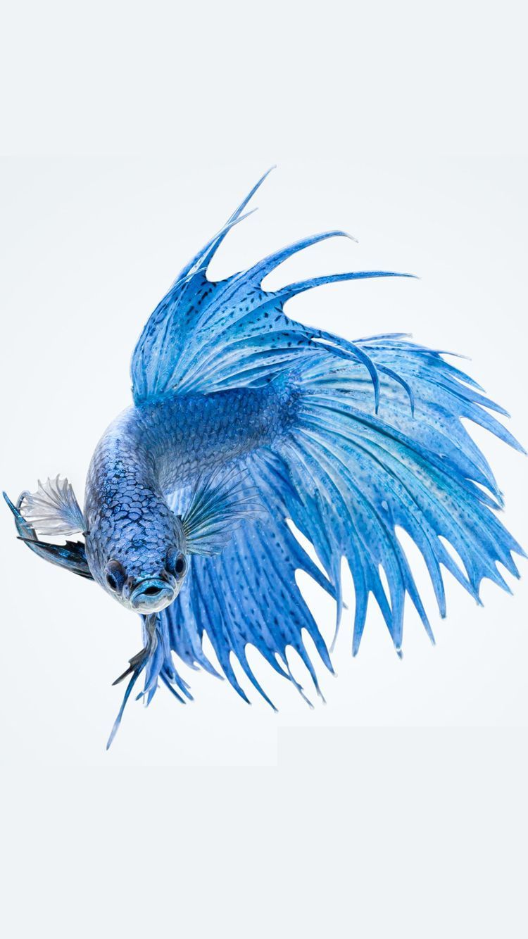 750x1334 Apple iPhone 6s Wallpaper with Blue Betta Fish in White Background ...