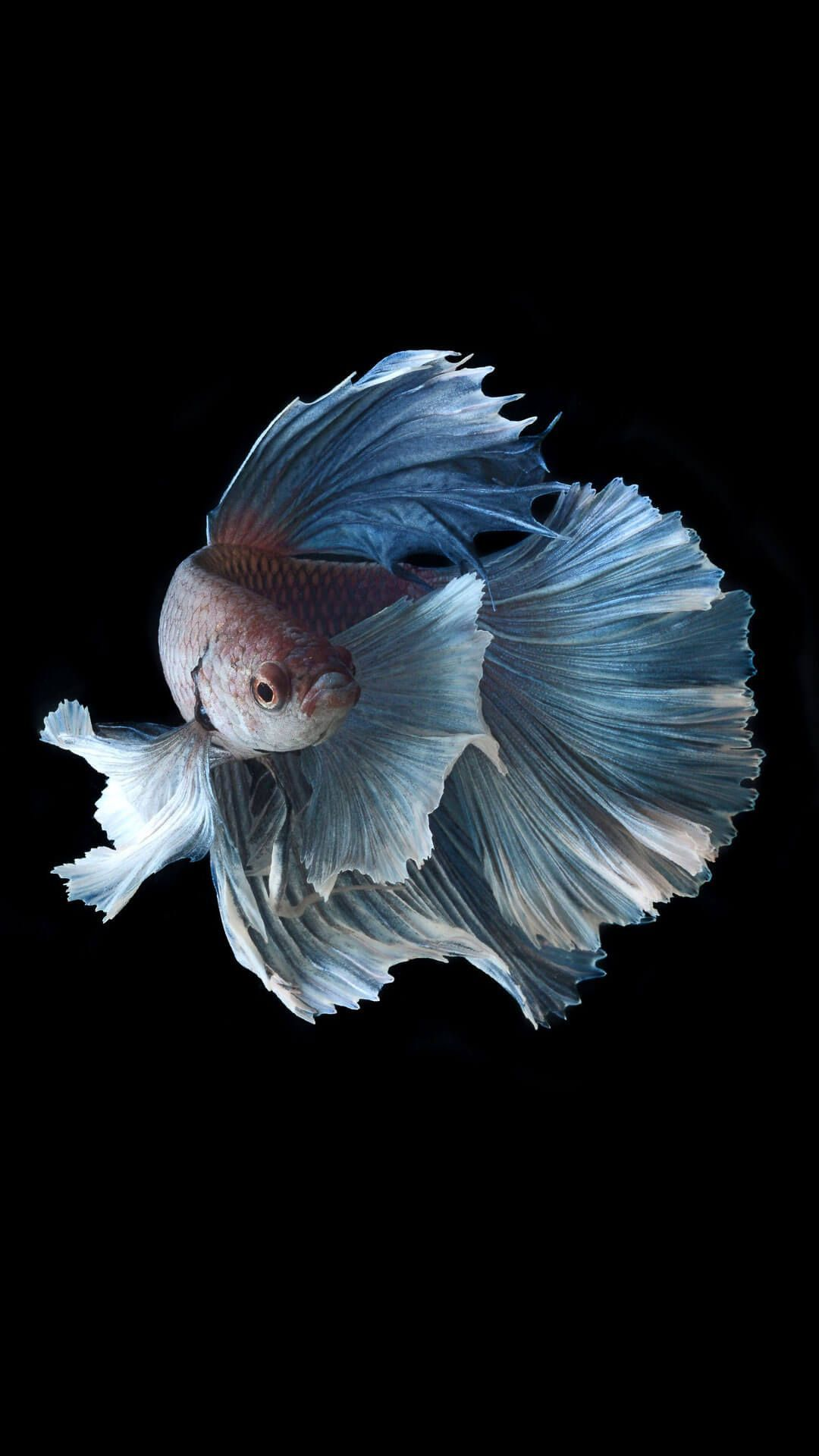 1080x1920 Betta Fish iPhone 6 Plus Wallpaper HD | ♡ Animals & Insects ...