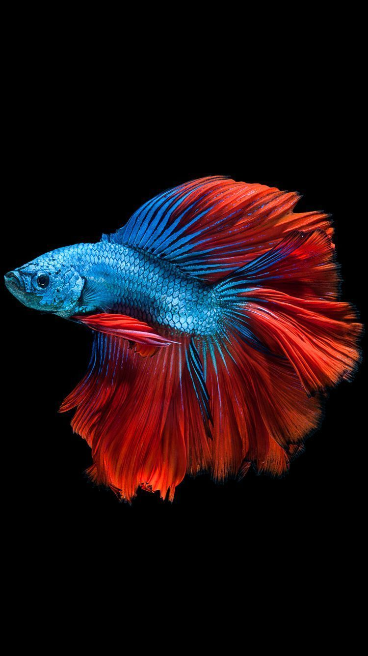 750x1334 Apple iPhone 6s Wallpaper with Blue Betta Fish in Dark Background in ...