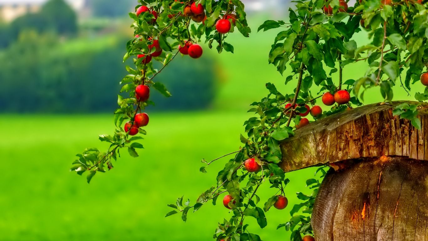 1366x768 Apple Tree Wallpaper - Wallpapers Browse