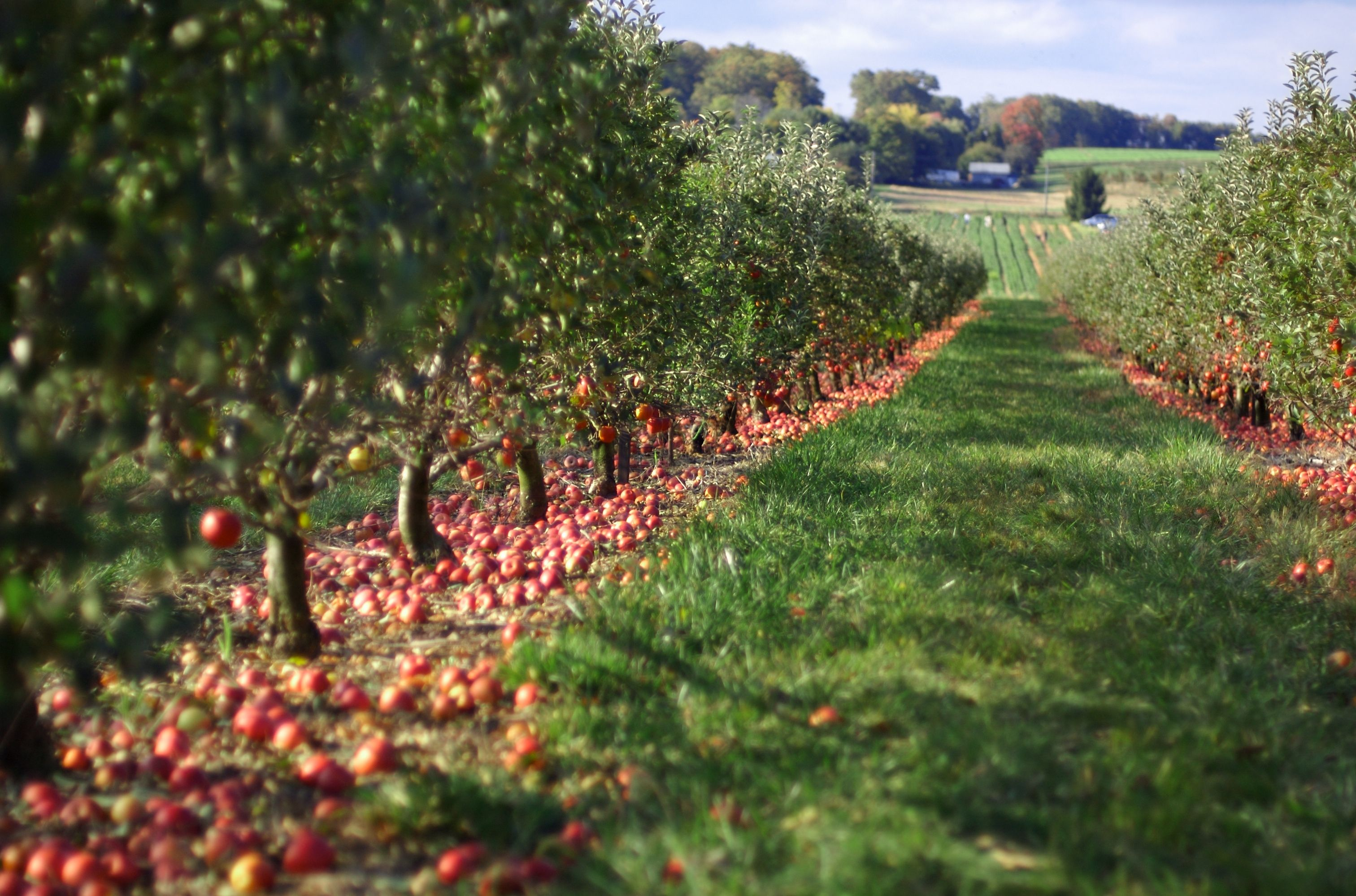 3024x1998 Map: Georgia's best picks for apple orchards, in time for fall