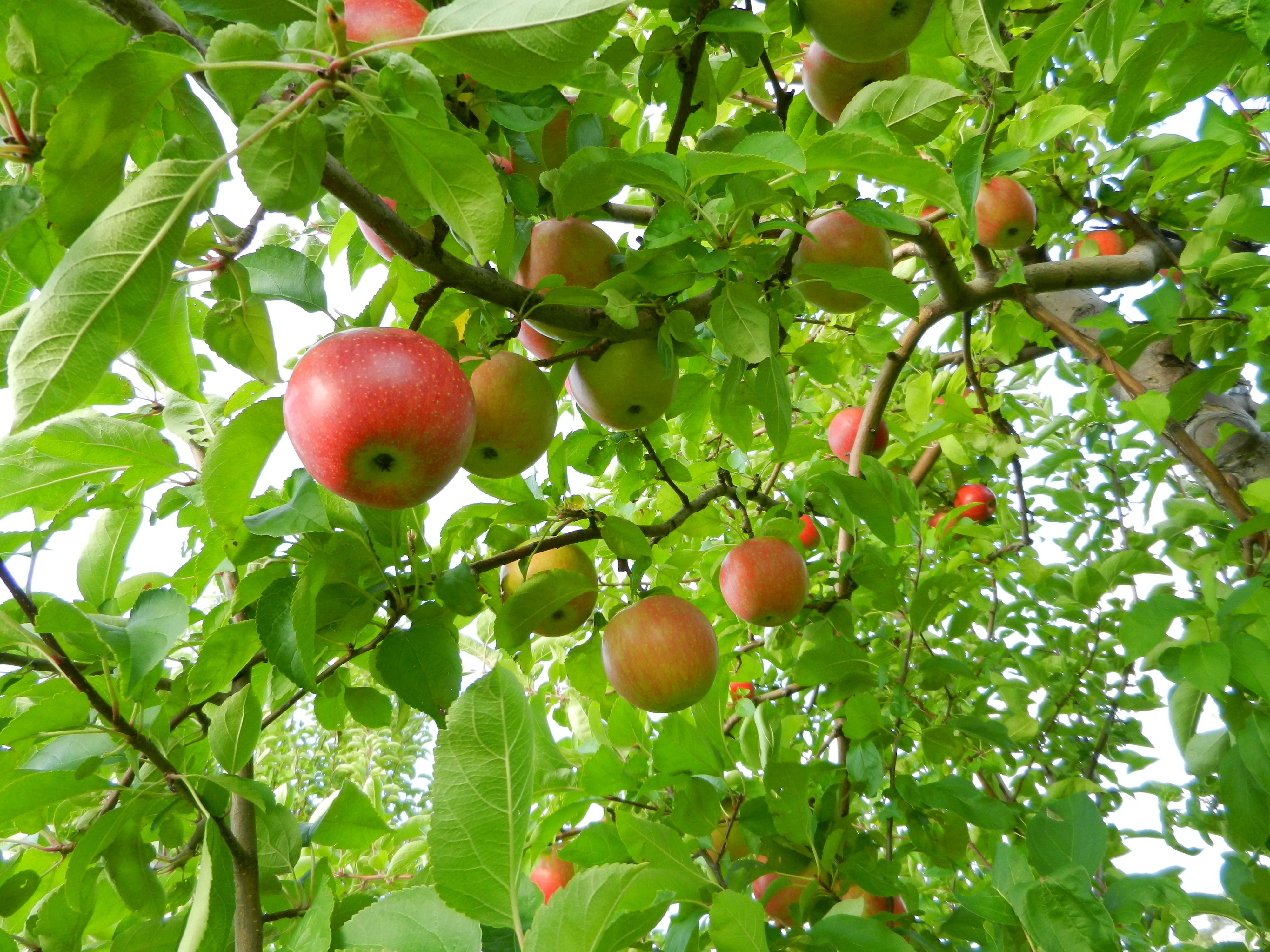 4000x3000 A guide to New England's finest apple picking spots - The Tufts Daily