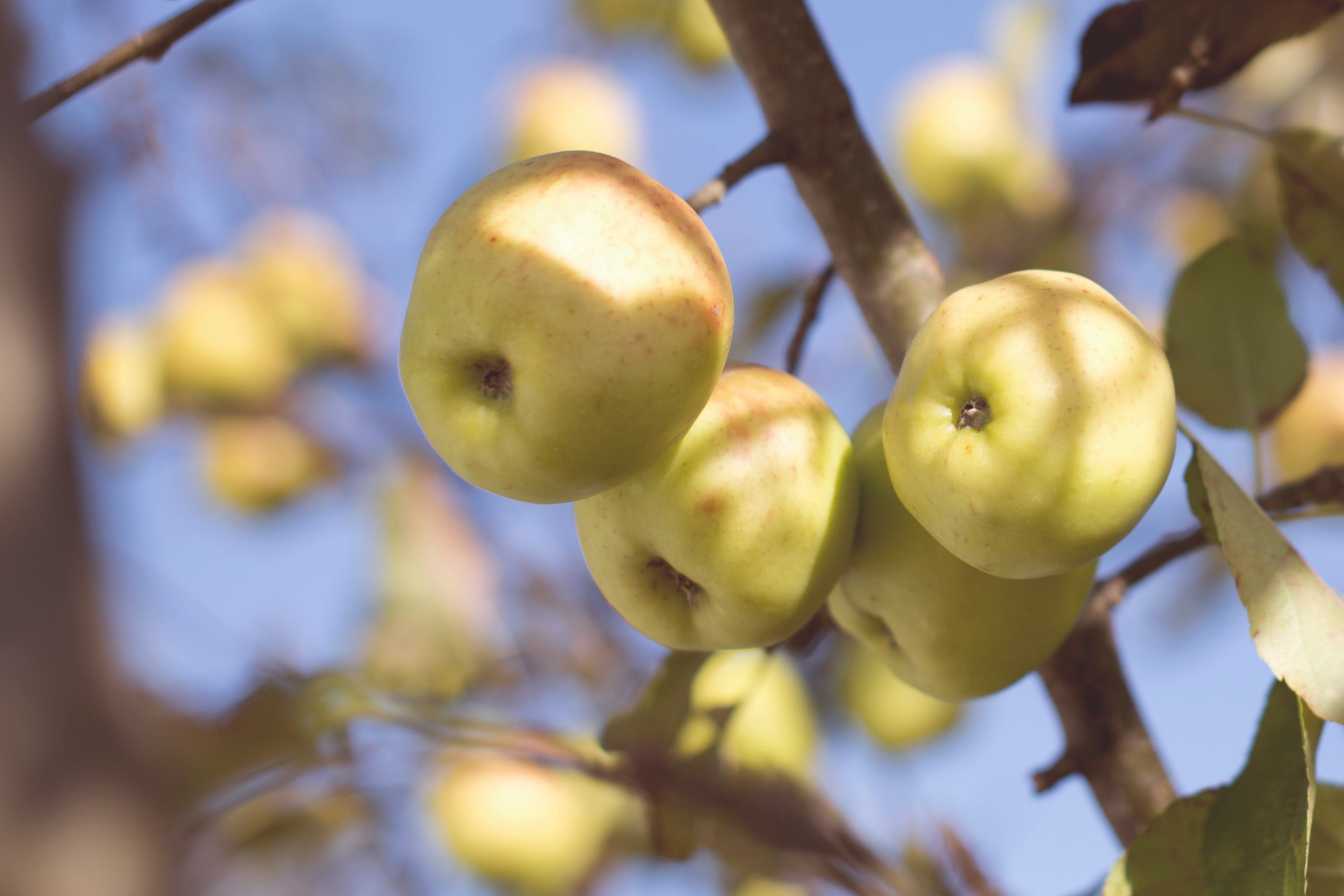 3840x2560 apple tree fruit and apple picking hd 4k wallpaper and background