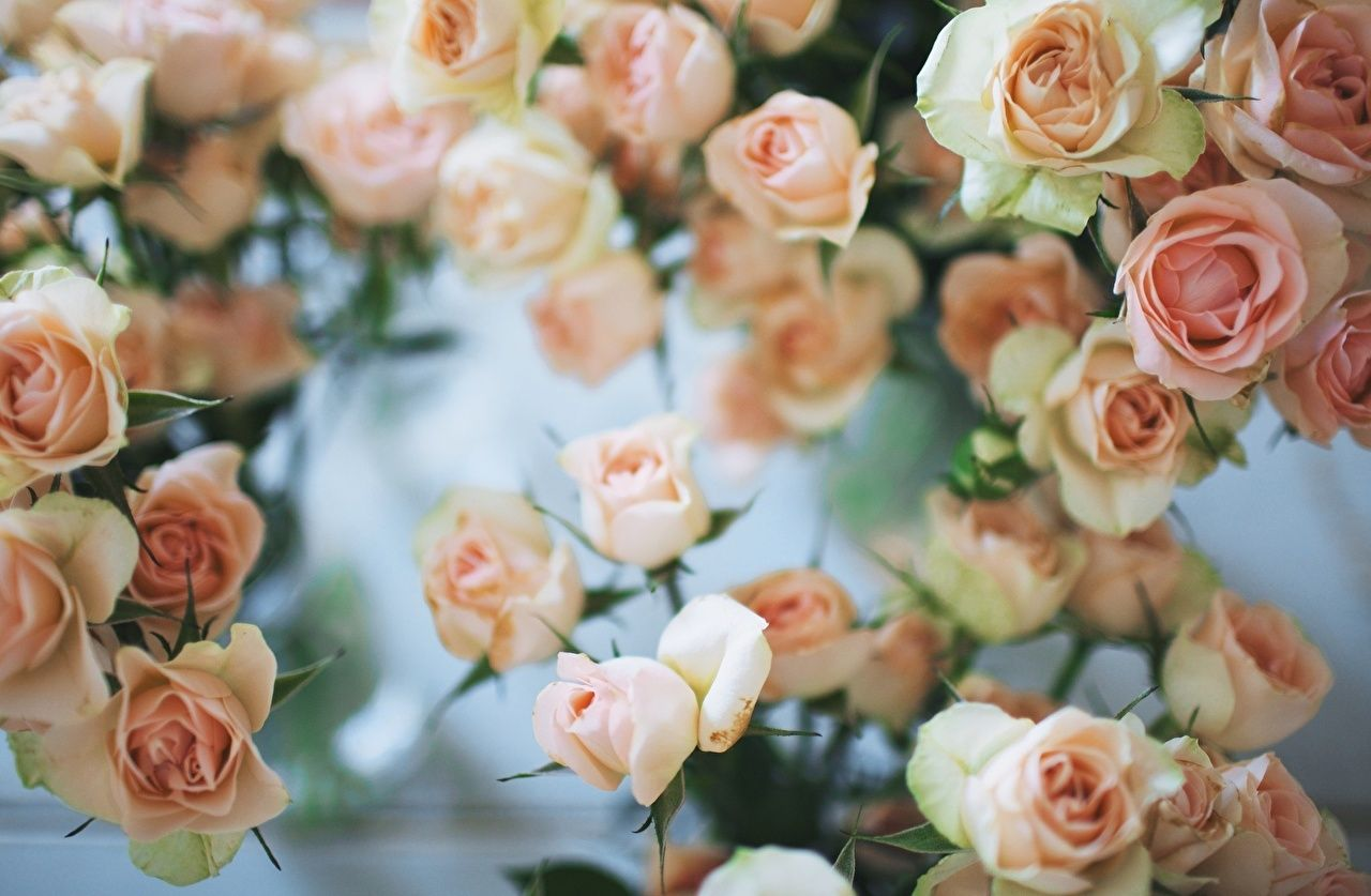 1280x837 Roses Flowers Many