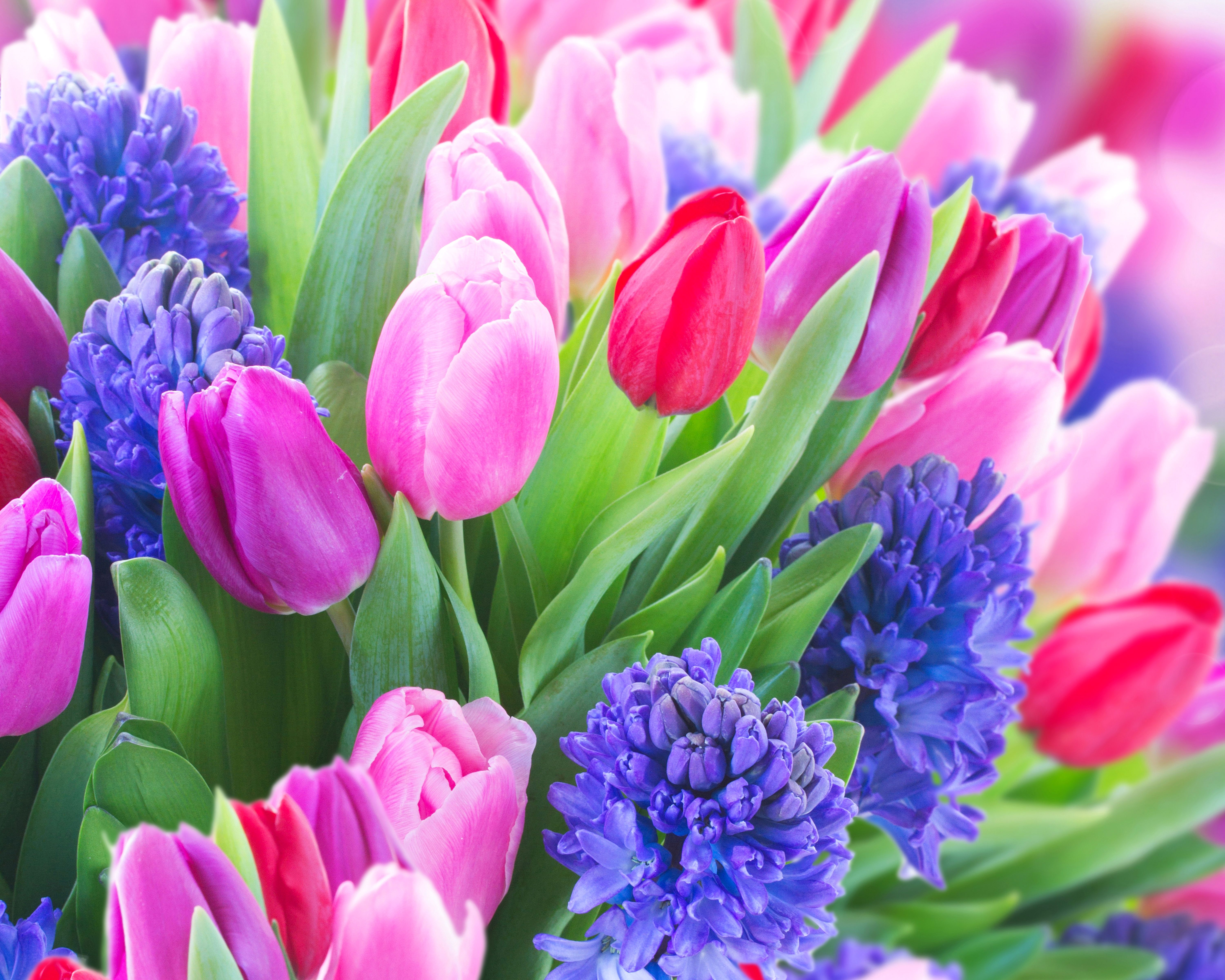 6000x4800 Wallpapers Tulips Flowers Hyacinths Closeup 6000x4800