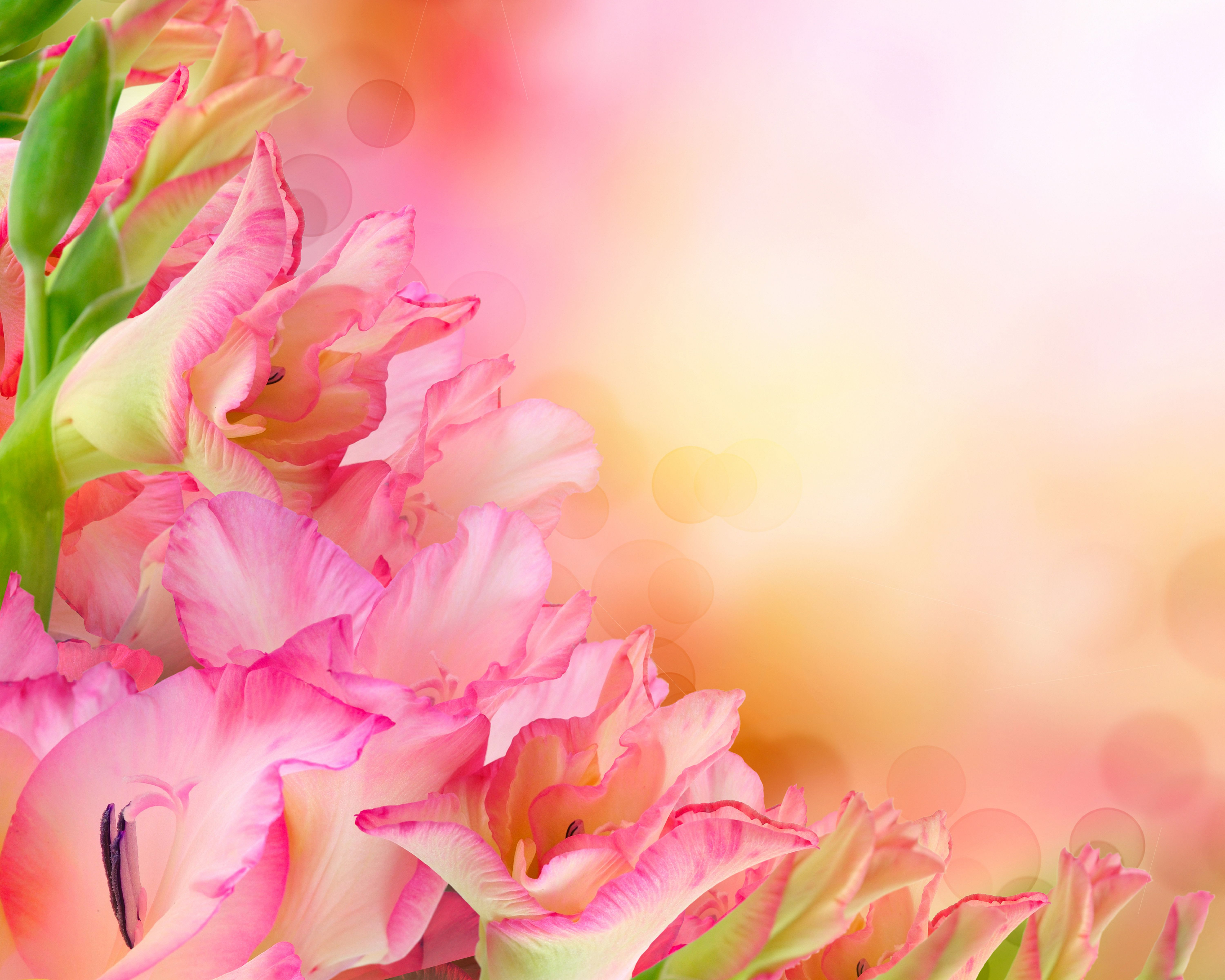 6000x4800 Wallpaper Pink color Flowers Gladioluses Closeup 6000x4800
