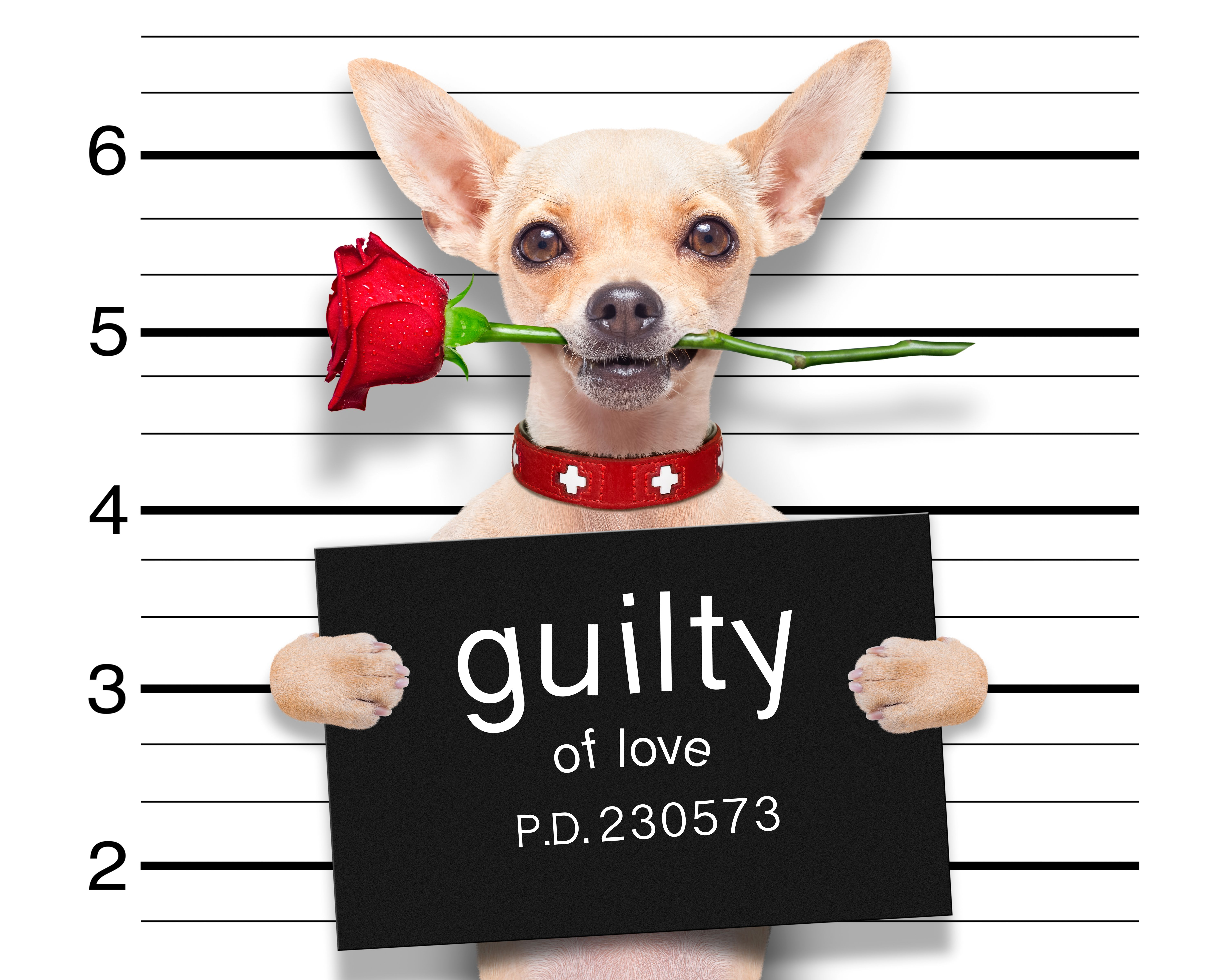 6000x4800 Picture Chihuahua Dogs English Funny Red Roses Animals 6000x4800