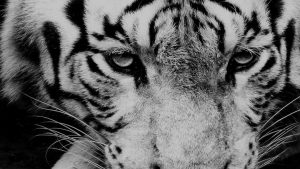 Tiger iPhone Wallpapers – Top Free Tiger iPhone Backgrounds