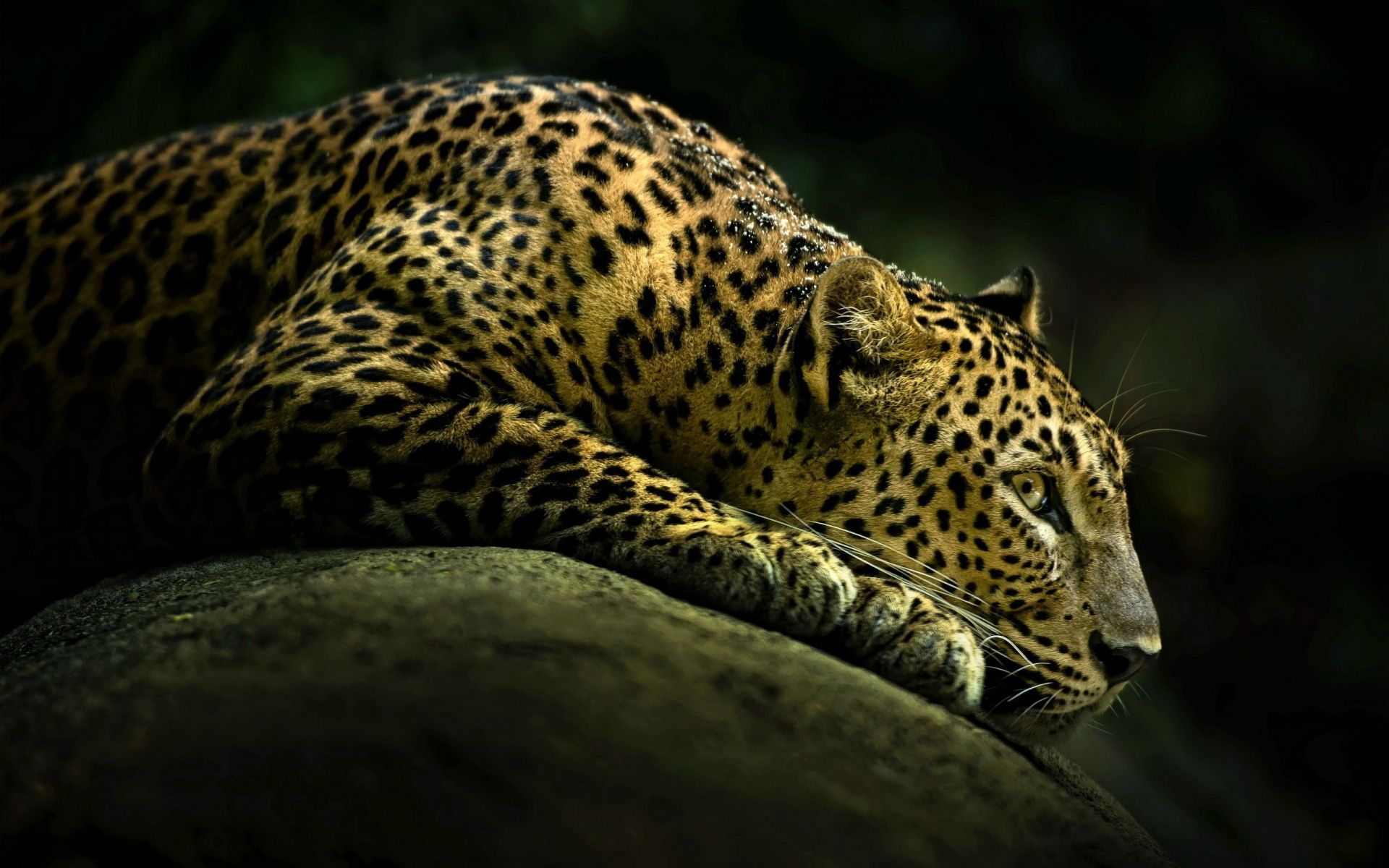1920x1200 Cheetah 4K Wallpapers High Quality | Download Free