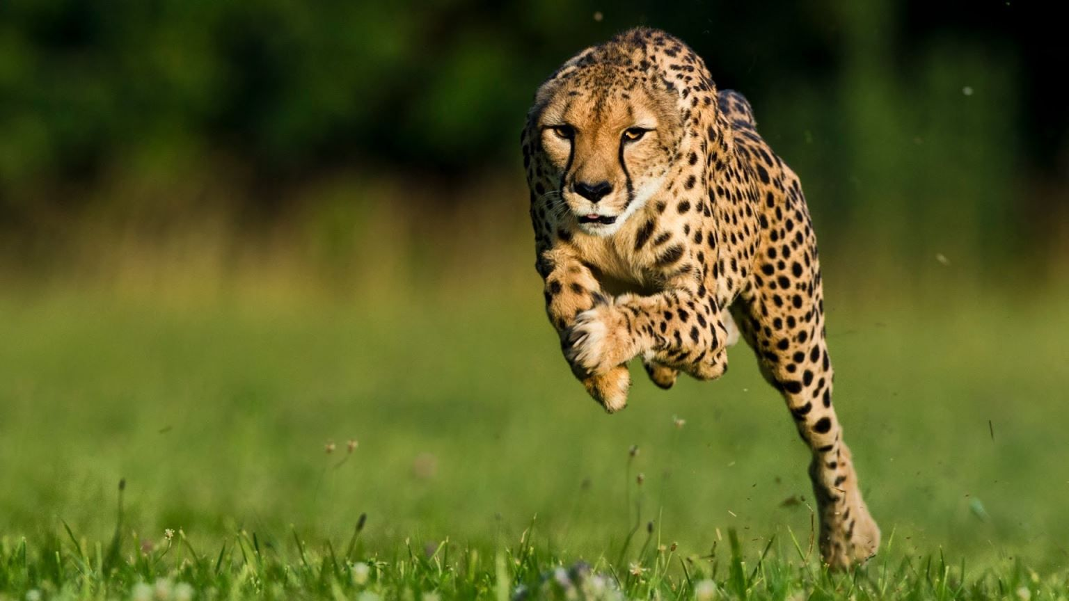 1536x864 Most 50 Cheetah animals photos hd wallpapers free download