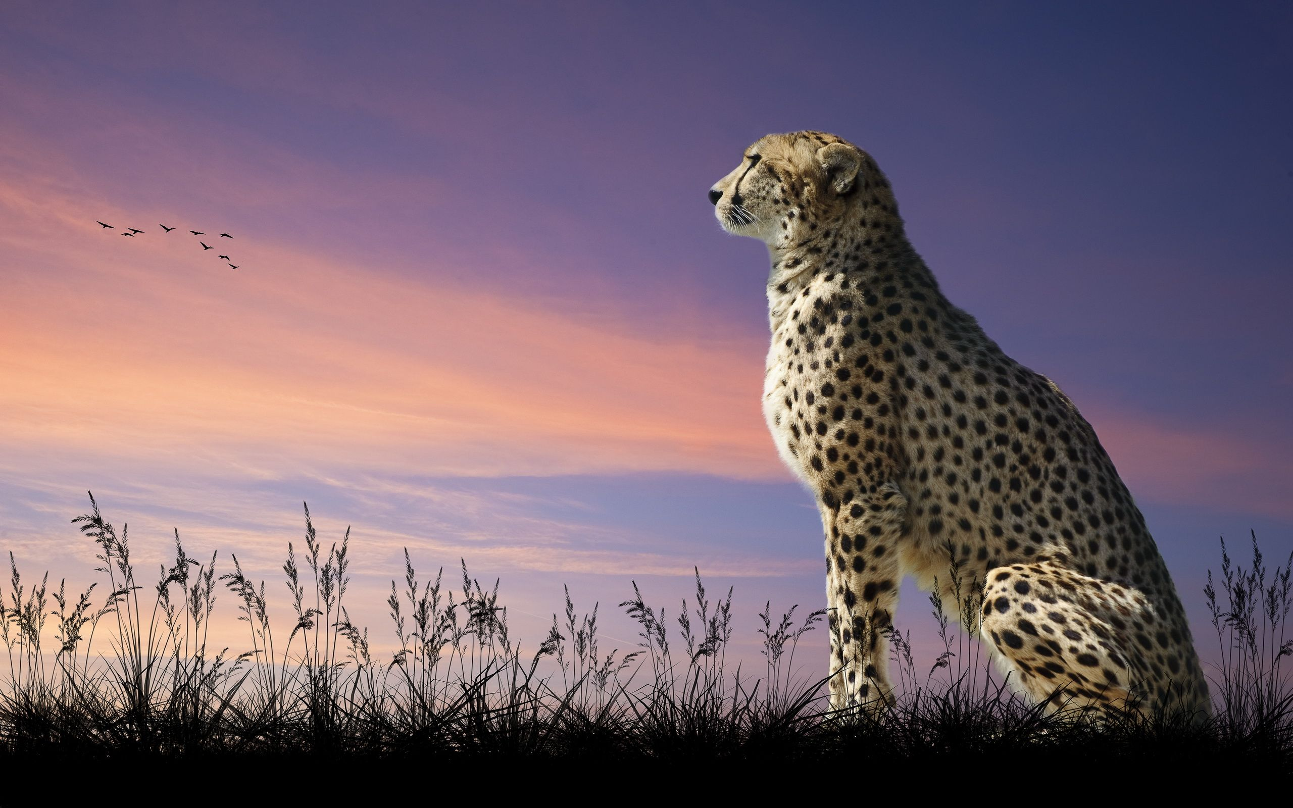 2560x1600 304 Cheetah HD Wallpapers | Background Images - Wallpaper Abyss