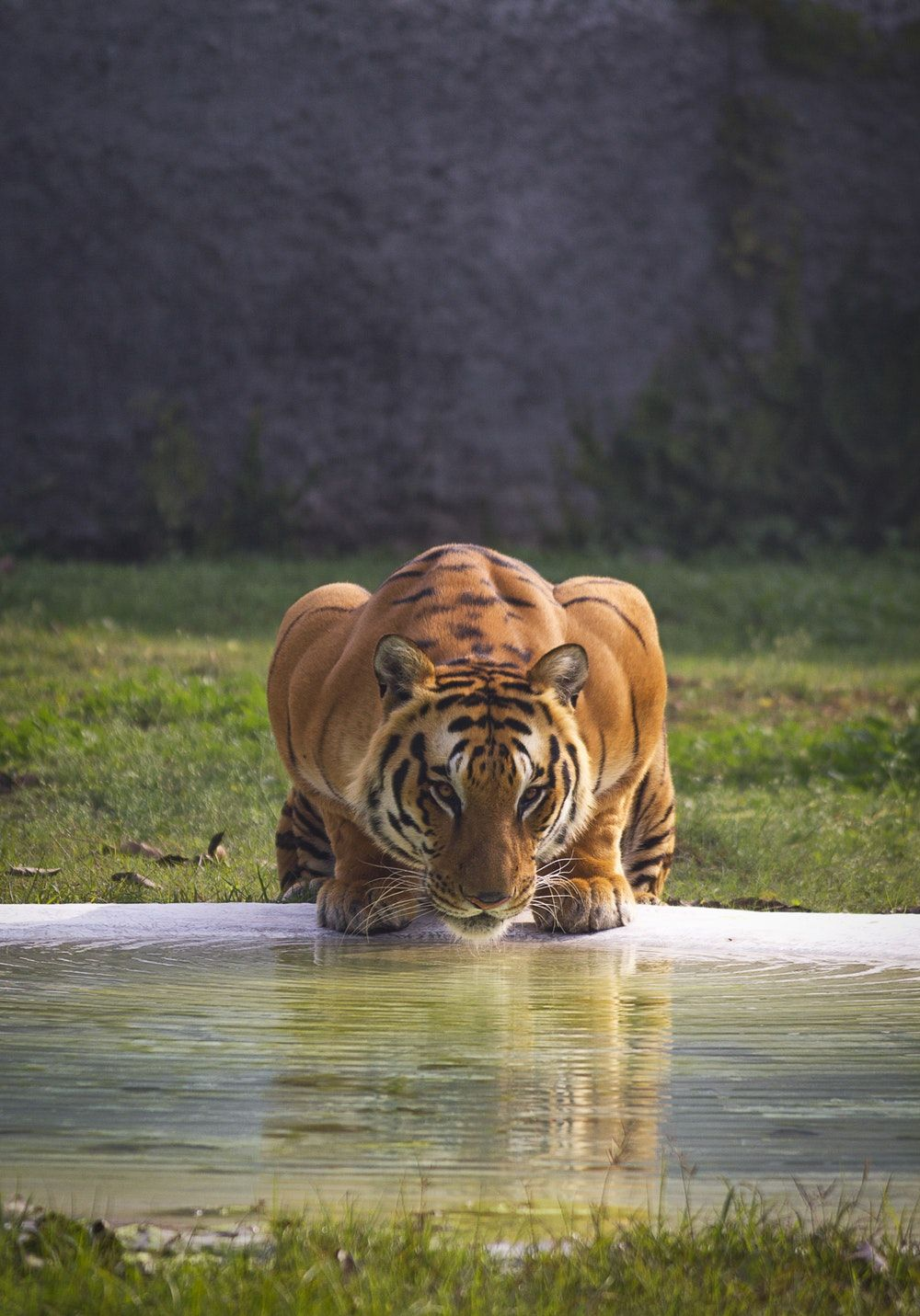 1000x1431 Tiger Pictures | Download Free Images & Stock Photos on Unsplash