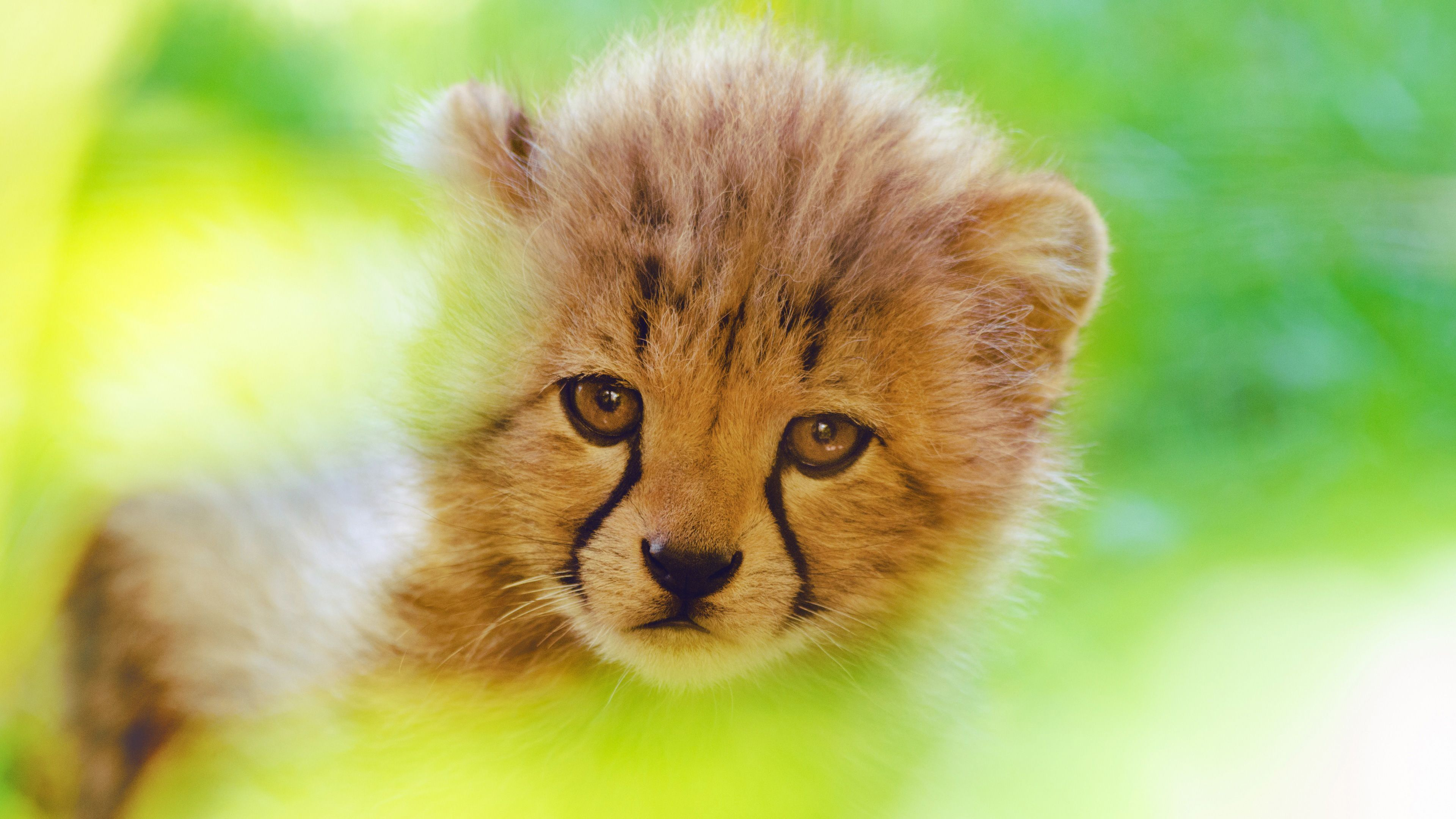 3840x2160 Cheetah Cute Cub 4k, HD Animals, 4k Wallpapers, Images, Backgrounds ...