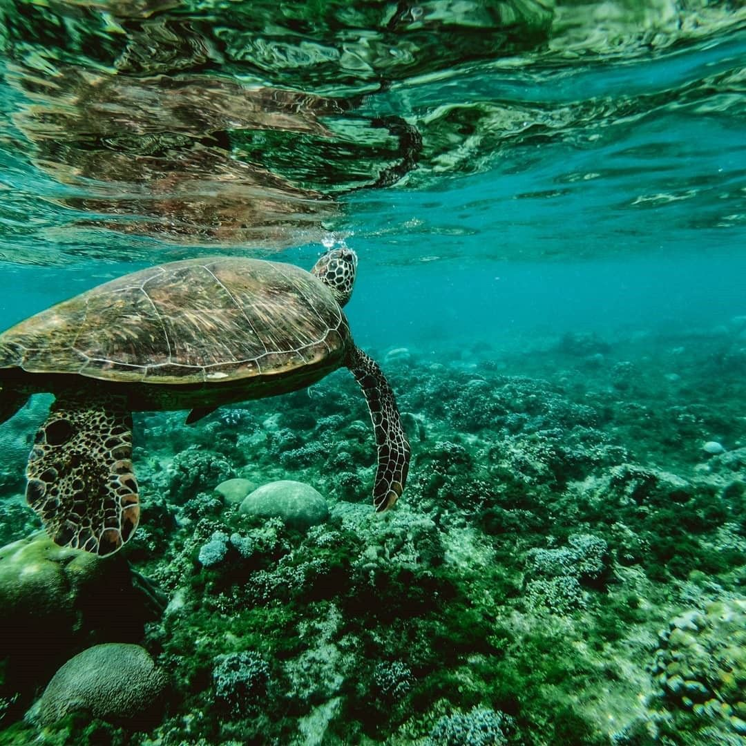 1080x1080 A turtle under water is pictured here. #iphonewallpaper ...