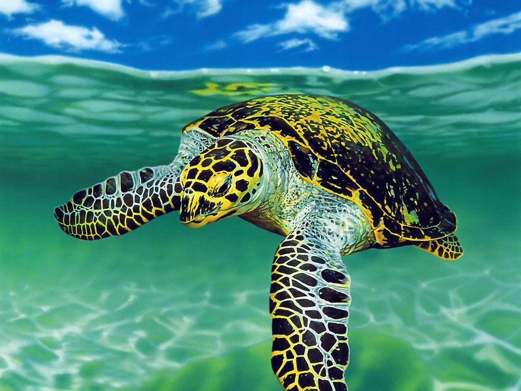 1024x768 1080p HD Sea Turtle Wallpaper High Quality Desktop, iphone and ...