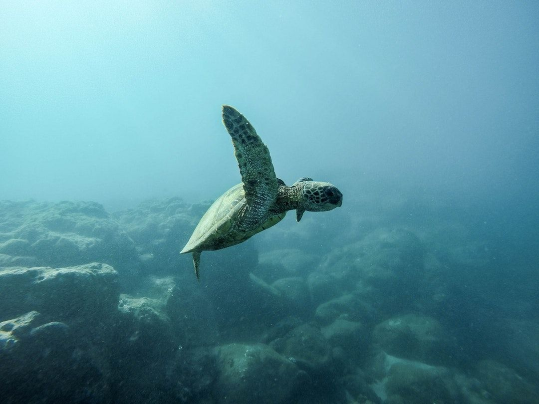1080x810 500+ Baby Sea Turtle Pictures [HD] | Download Free Images on Unsplash