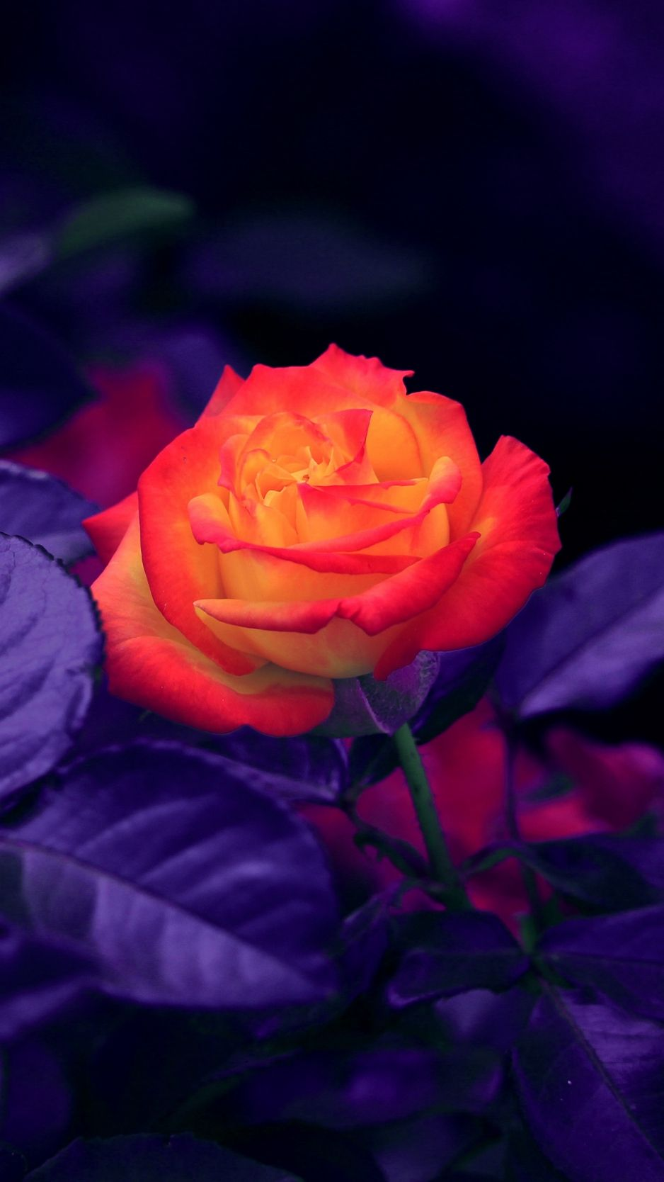 938x1668 Download wallpaper 938x1668 rose, bud, orange, purple iphone 8/7/6s ...