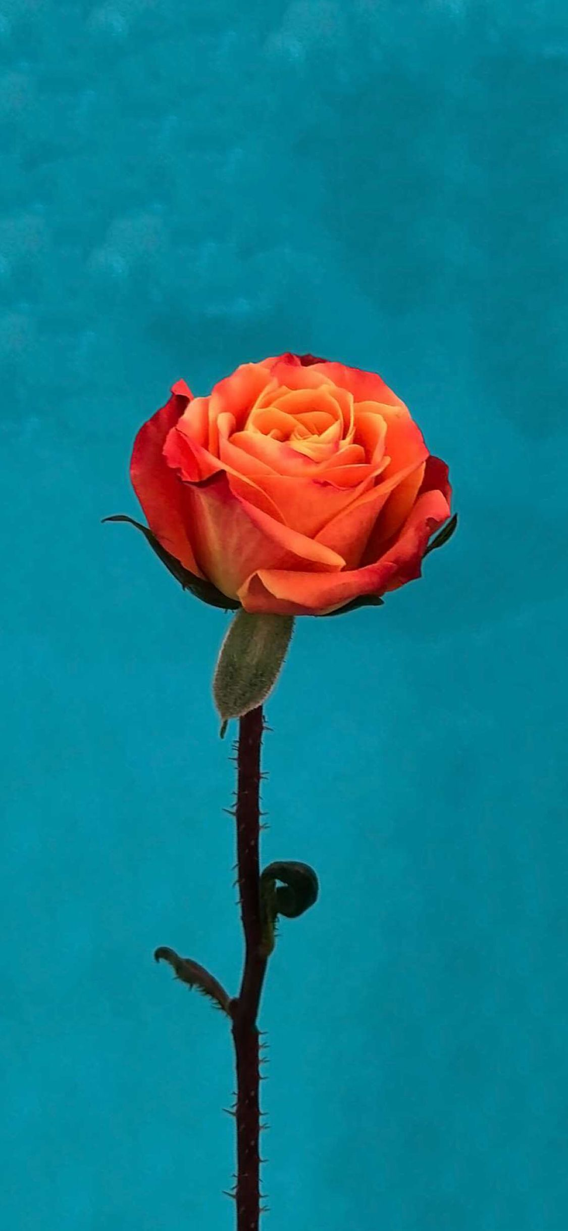1125x2436 iOS 11 Orange Rose Wallpaper – iOSwall