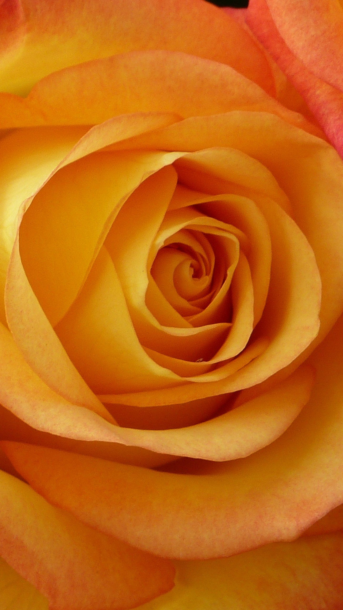 1440x2560 Peach Rose Wallpaper - iPhone, Android & Desktop Backgrounds