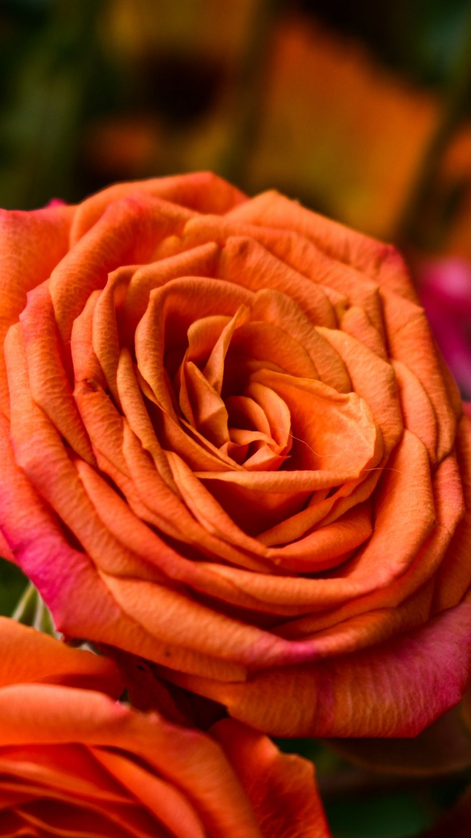 938x1668 Download wallpaper 938x1668 rose, orange, bud, petals iphone 8/7/6s ...