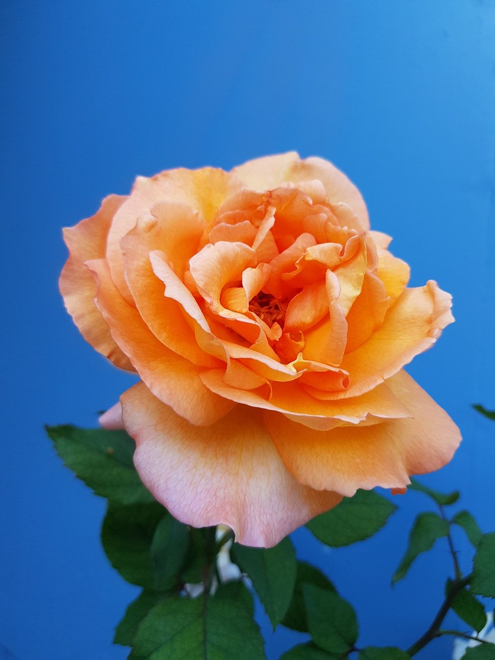 1000x1333 500+ Orange Rose Pictures | Download Free Images on Unsplash