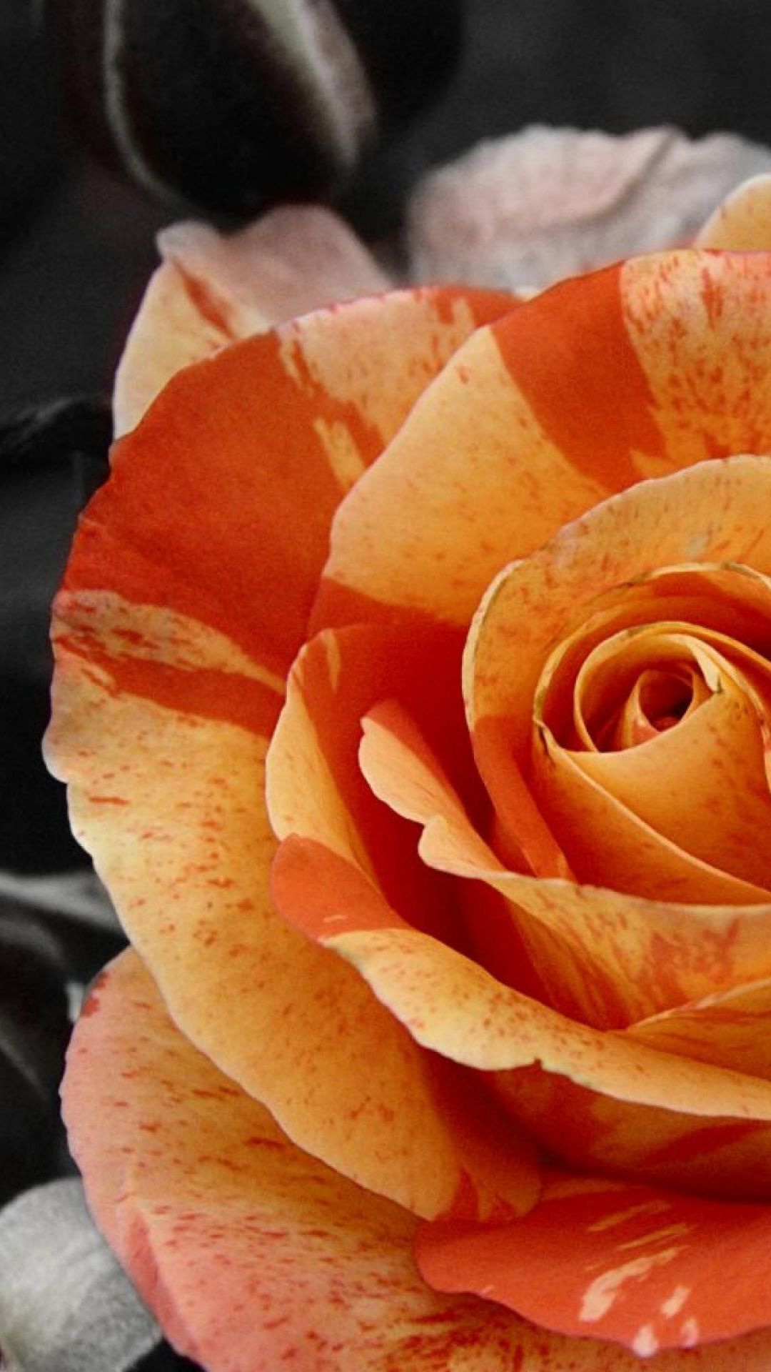 1080x1920 Orange Rose Black Background Desktop Flowers Ultra Hd Wallpapers ...