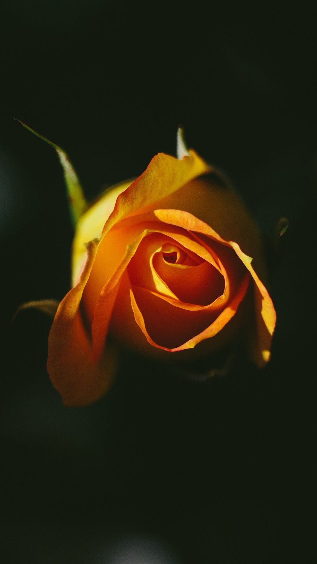 1080x1920 Orange rose, black background 1080x1920 iPhone 8/7/6/6S Plus ...