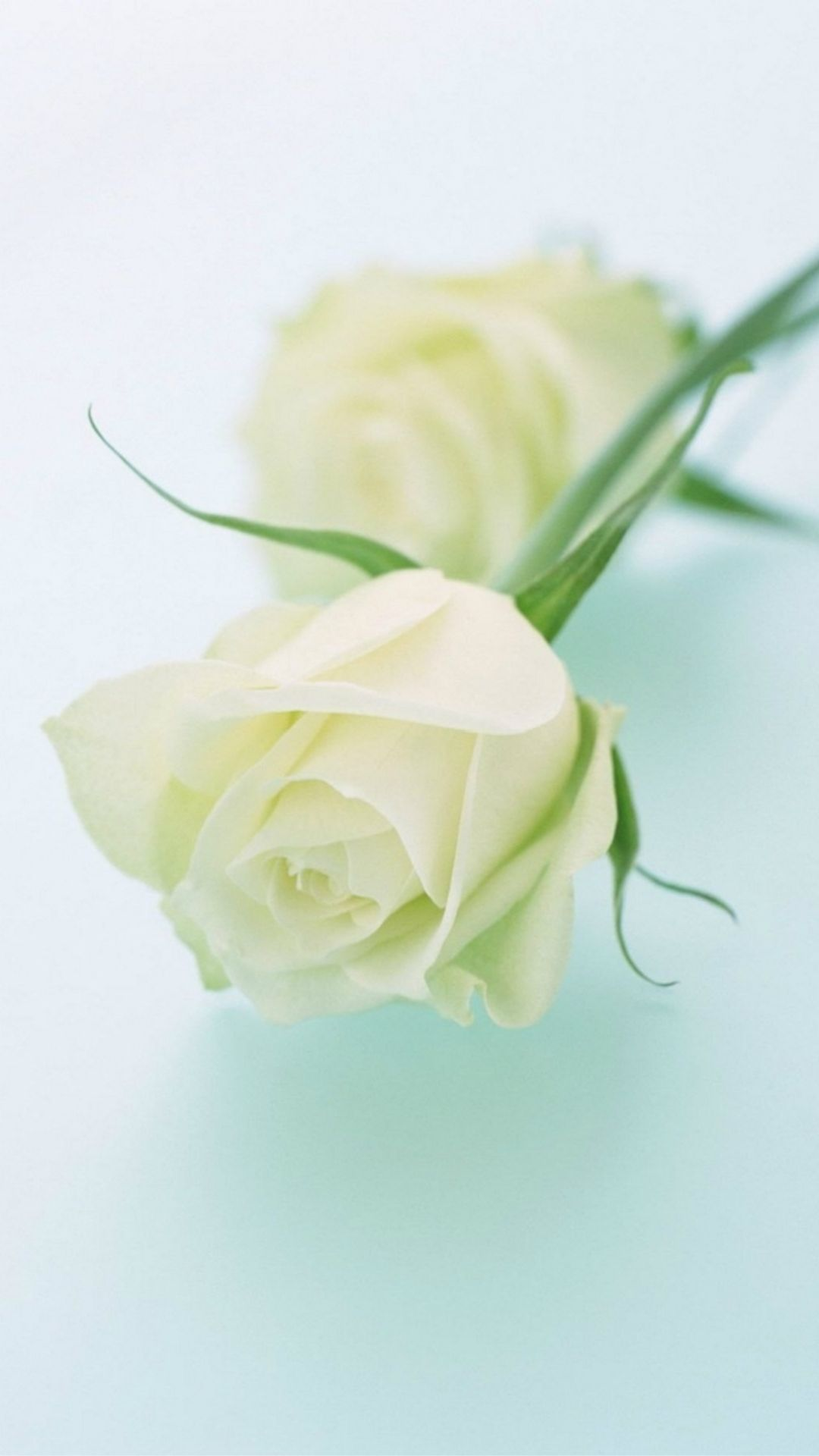 1080x1920 Pure Elegant White Rose Plant Branch #iPhone #6 #wallpaper | iPhone ...