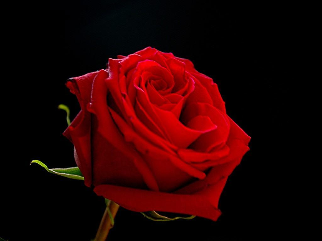 1024x768 Red Rose With Black Backgrounds