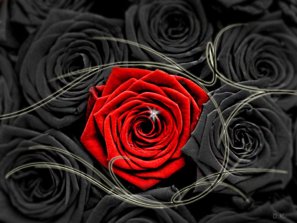 1024x768 dongetrabi: Black And Red Roses Images