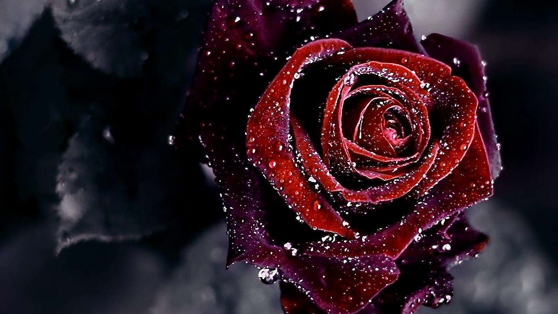 1920x1080 Black And Red Roses Wallpapers