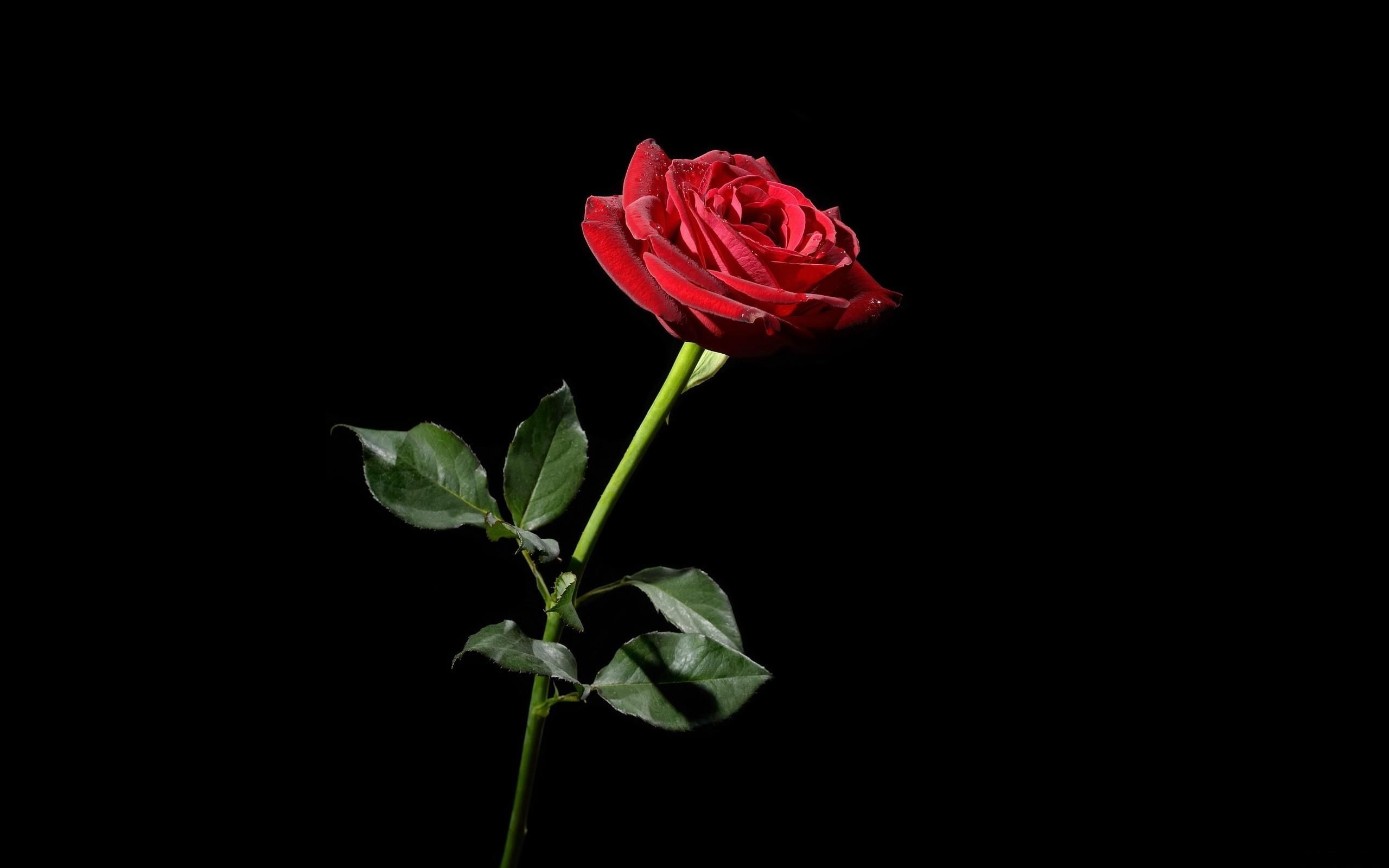 2560x1600 dongetrabi: Black And White Red Rose Wallpaper Images