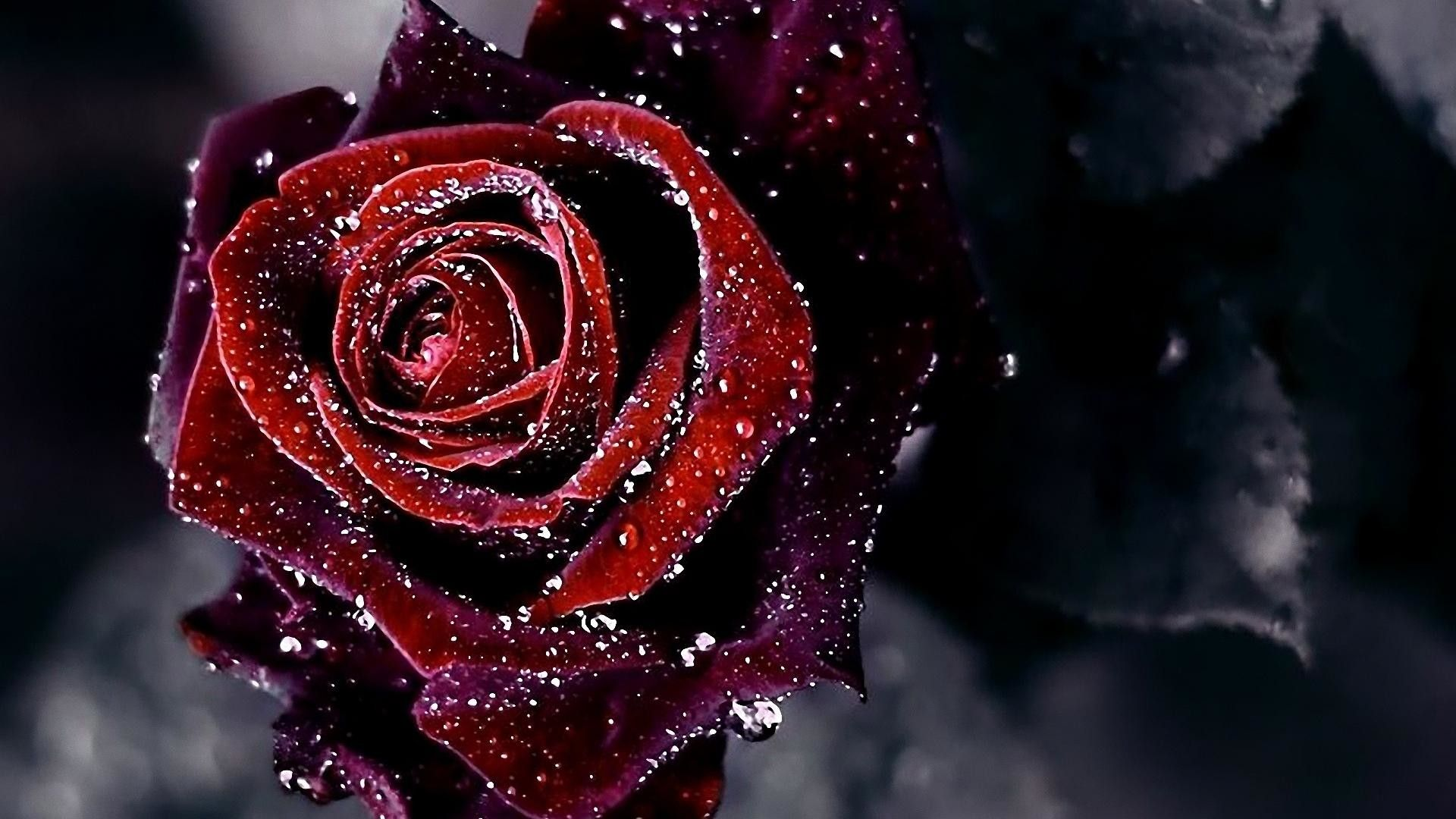 1920x1080 Black and Red Rose Wallpaper (63+ images)