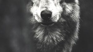 Lone Wolf iPhone Wallpapers – Top Free Lone Wolf iPhone Backgrounds