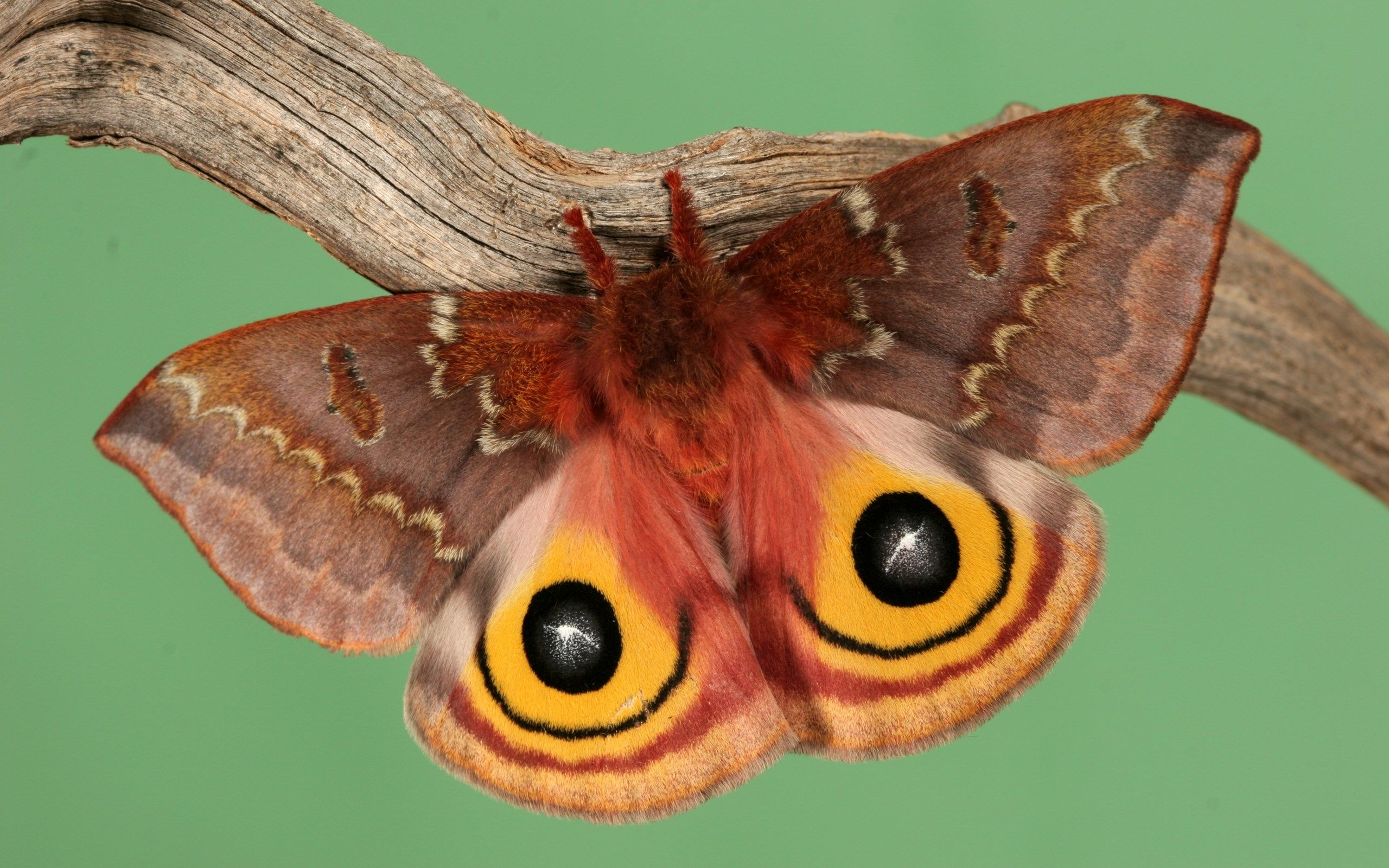 2560x1600 2560x1600 px Desktop Backgrounds - moth pic by Gable Chester for ...