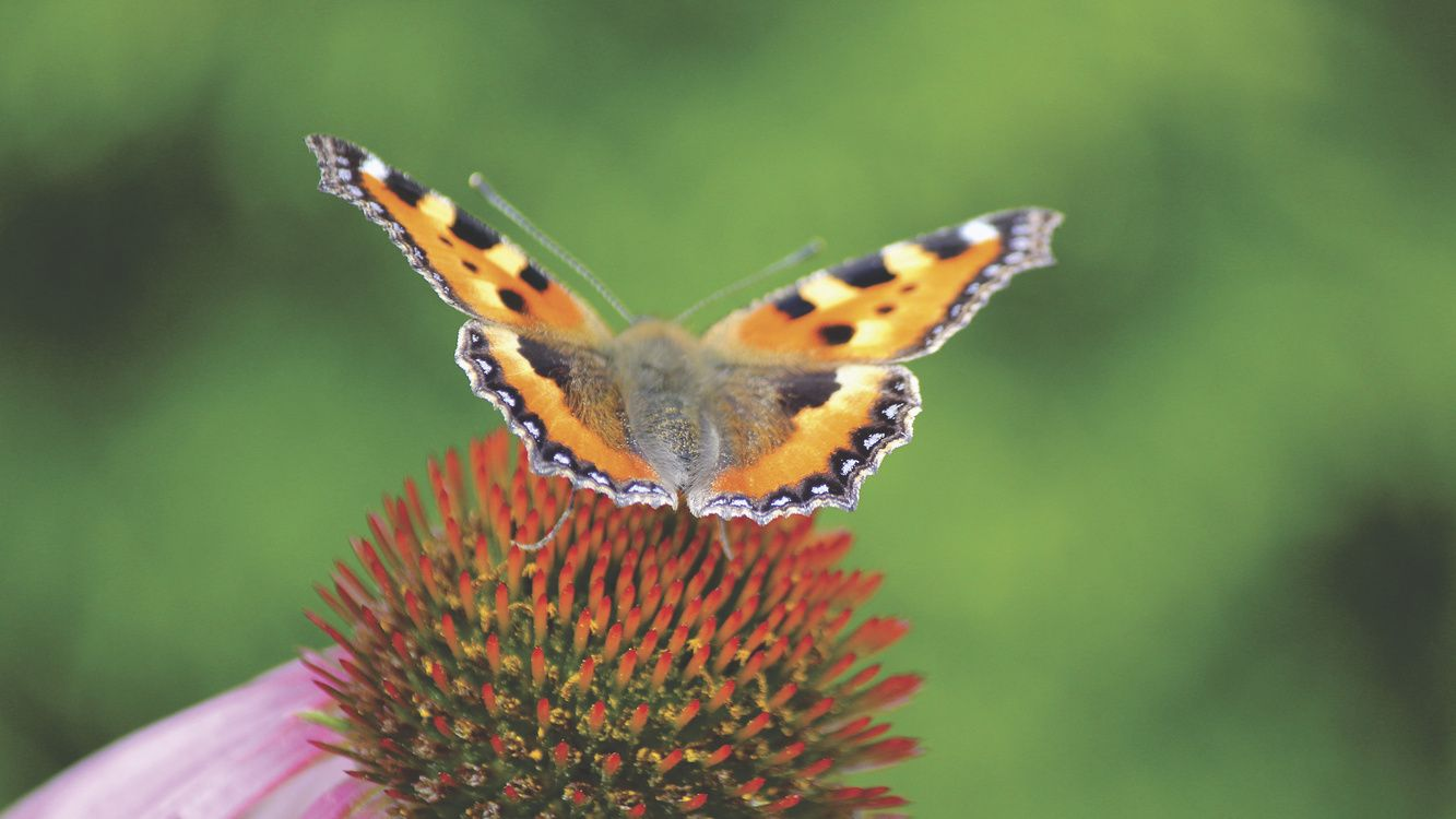 1333x750 Butterfly Desktop Wallpaper Pollinator Insect free images download ...