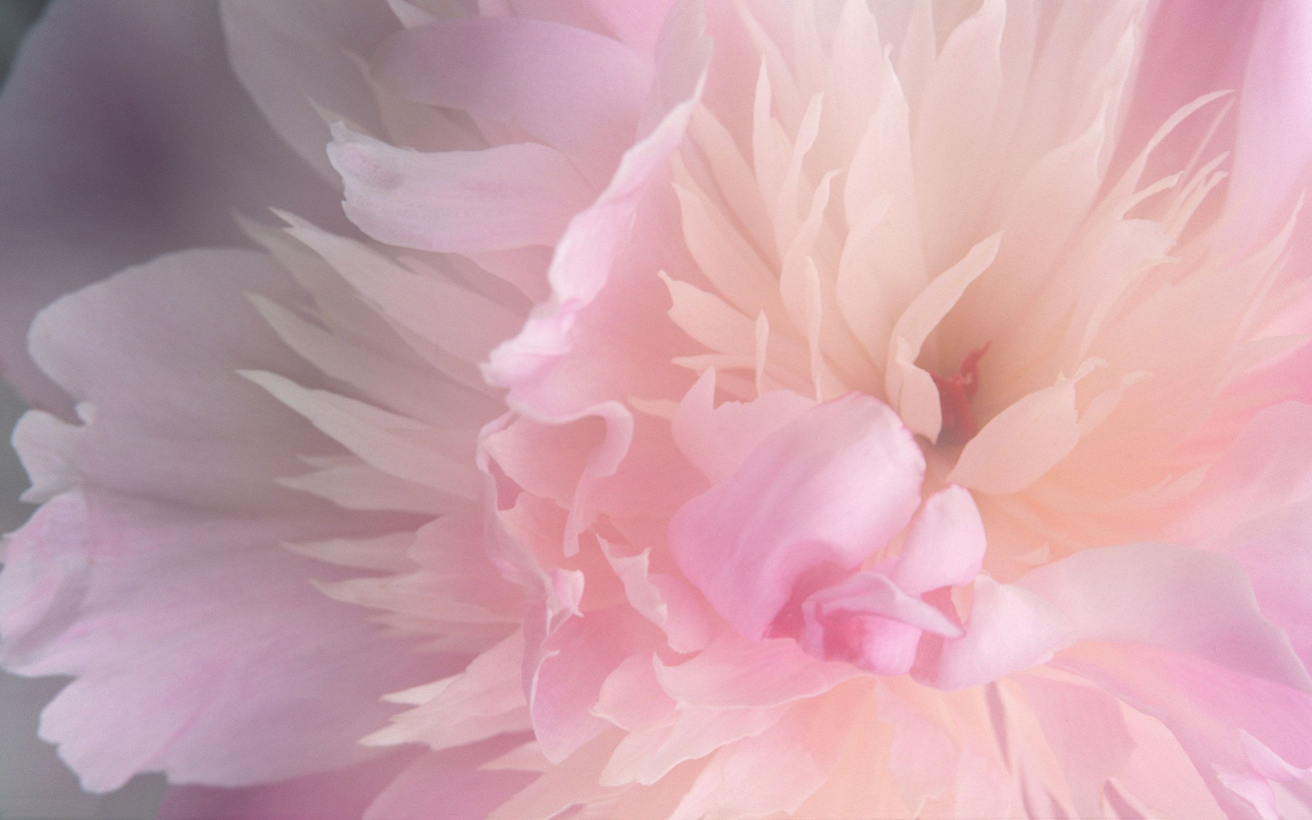 2560x1600 peonies background wallpaper - Google Search | Flowers | Pink ...