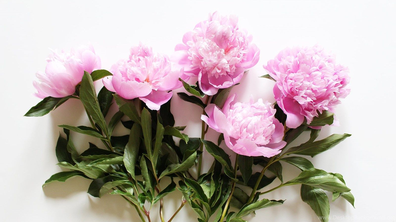 1600x900 Peony Desktop Wallpapers HD Wallpaper Backgrounds Of Your Choice ...