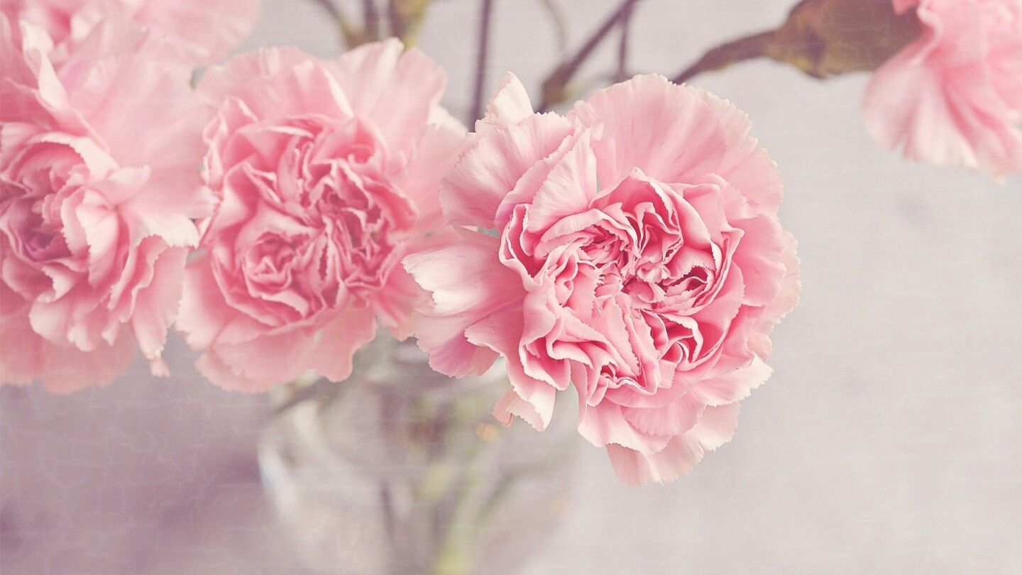 1440x810 Pin by Elena on Цветы | Flowers, Wallpaper, Carnations