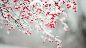 Snow Blossoms Wallpapers – Top Free Snow Blossoms Backgrounds