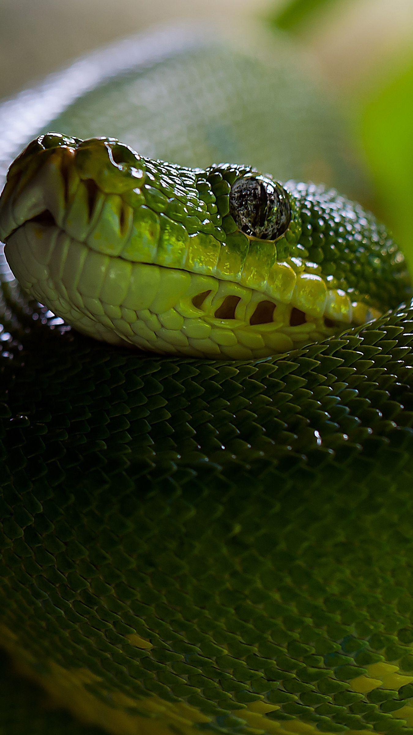1350x2400 Download wallpaper 1350x2400 python, snake, head, scales iphone 8+ ...