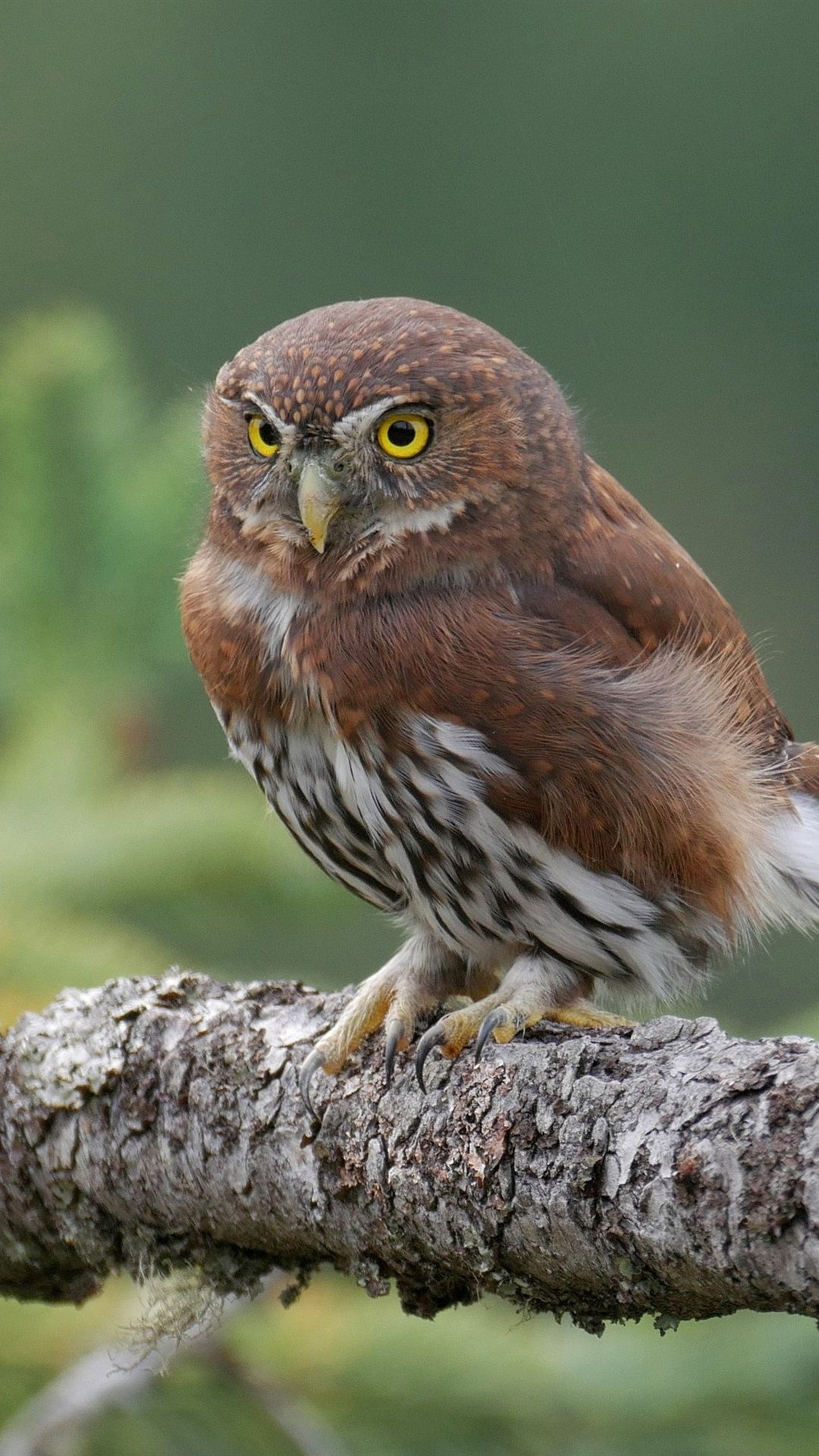 1080x1920 Wallpaper Little owl, yellow eyes, branches 3840x2160 UHD 4K Picture ...