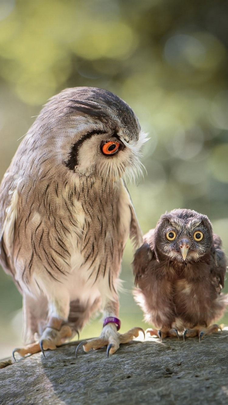 750x1334 Owl mother and little owl 750x1334 iPhone 8/7/6/6S wallpaper ...